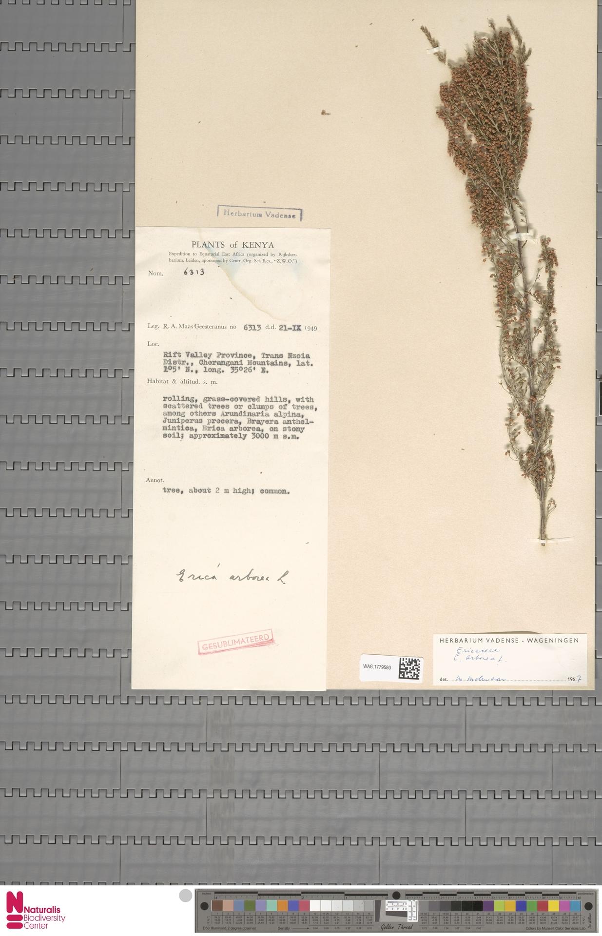 WAG.1779580 | Erica arborea L.
