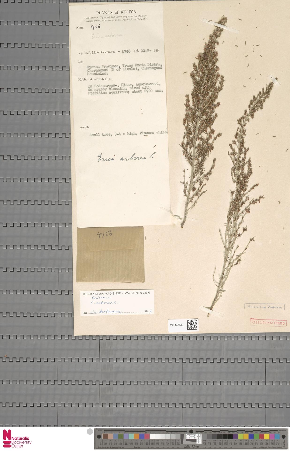 WAG.1779582 | Erica arborea L.