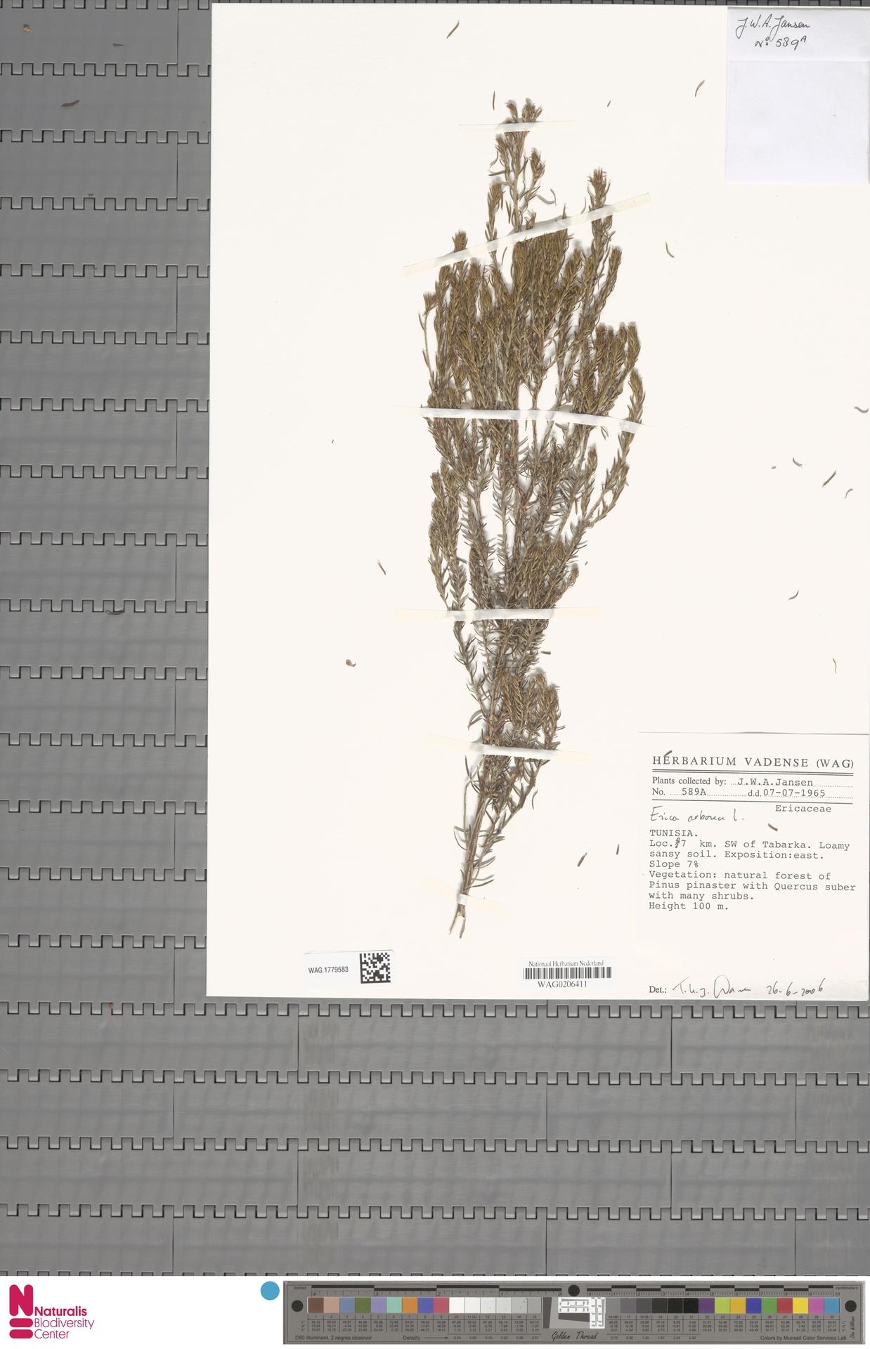 WAG.1779583 | Erica arborea L.