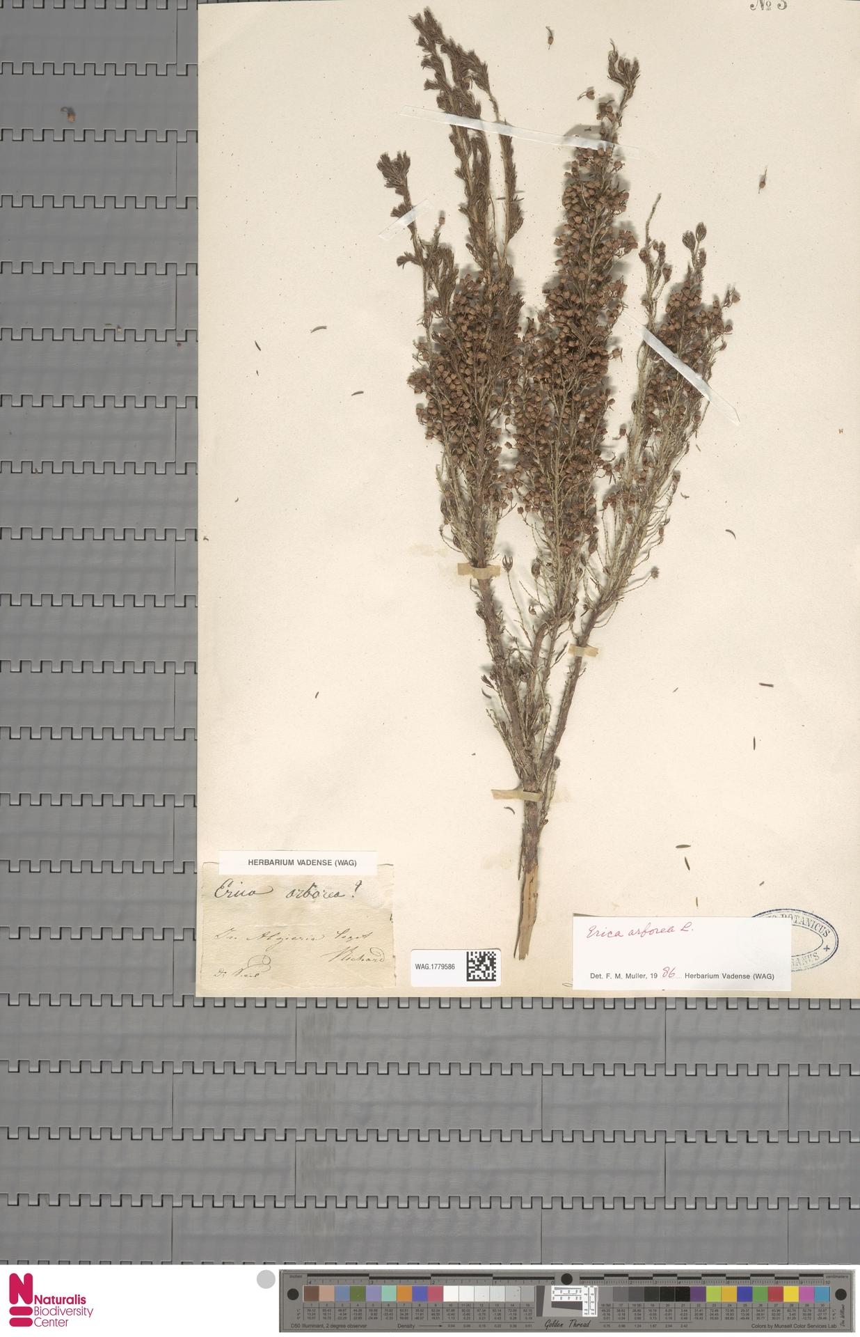 WAG.1779586   Erica arborea L.