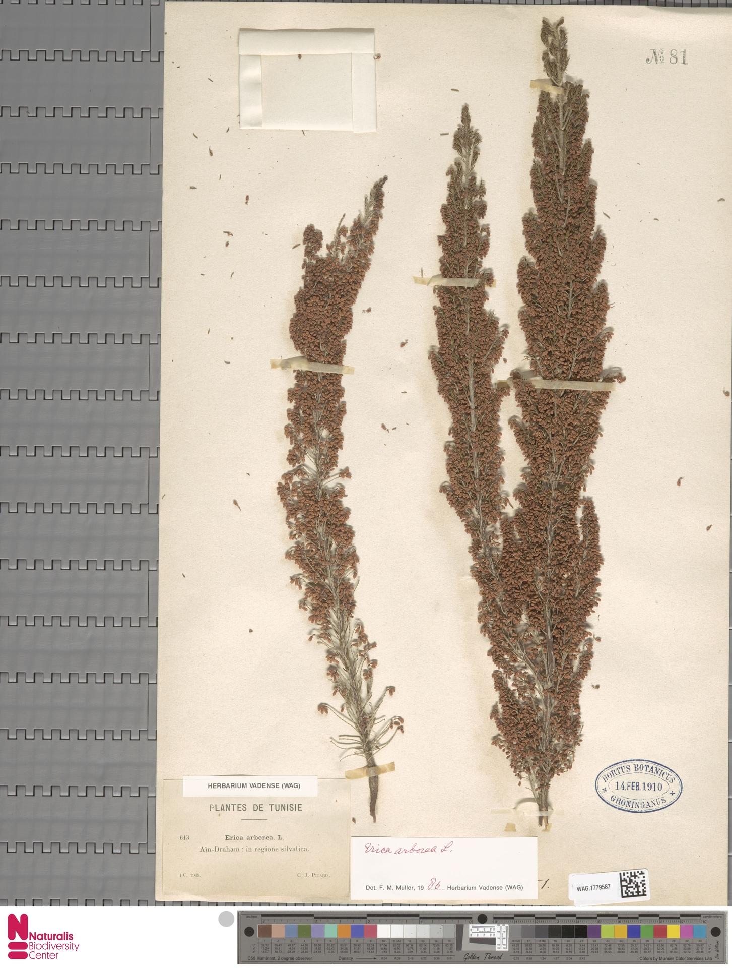 WAG.1779587   Erica arborea L.