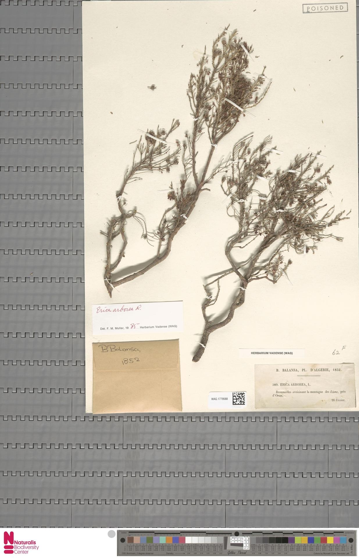 WAG.1779588 | Erica arborea L.