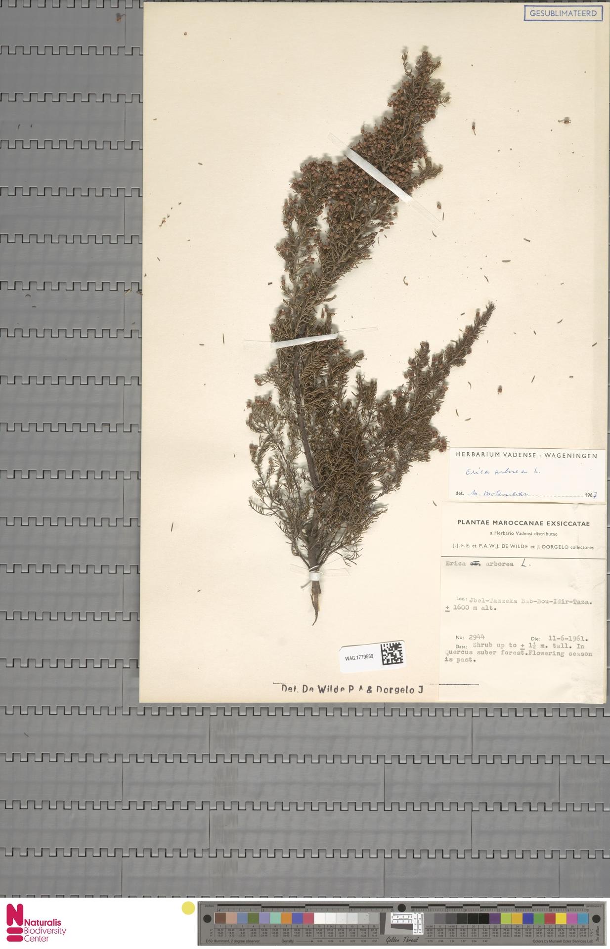 WAG.1779589 | Erica arborea L.