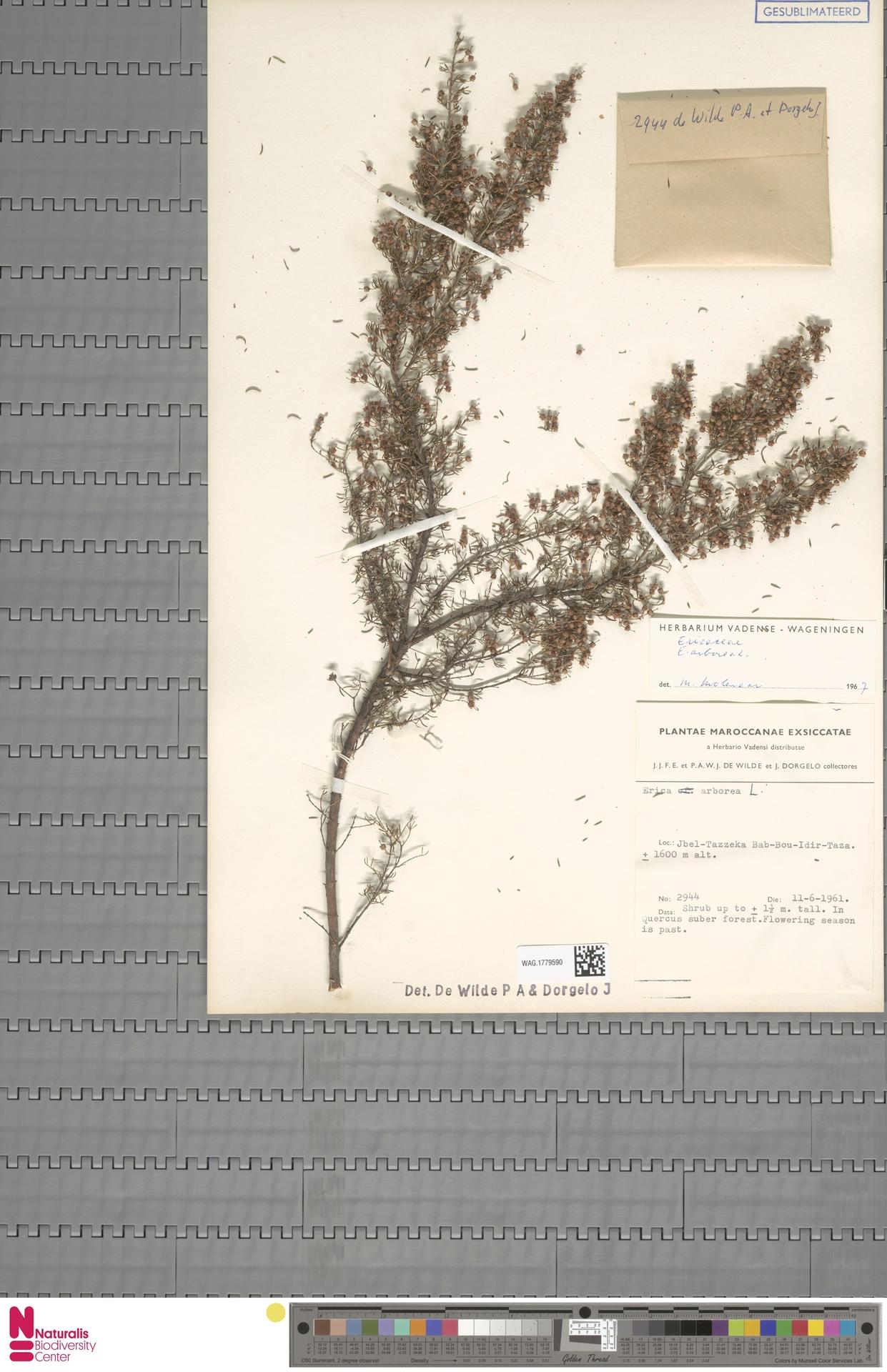 WAG.1779590 | Erica arborea L.