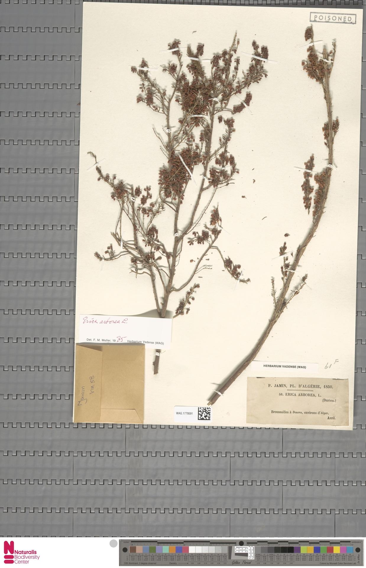 WAG.1779591   Erica arborea L.