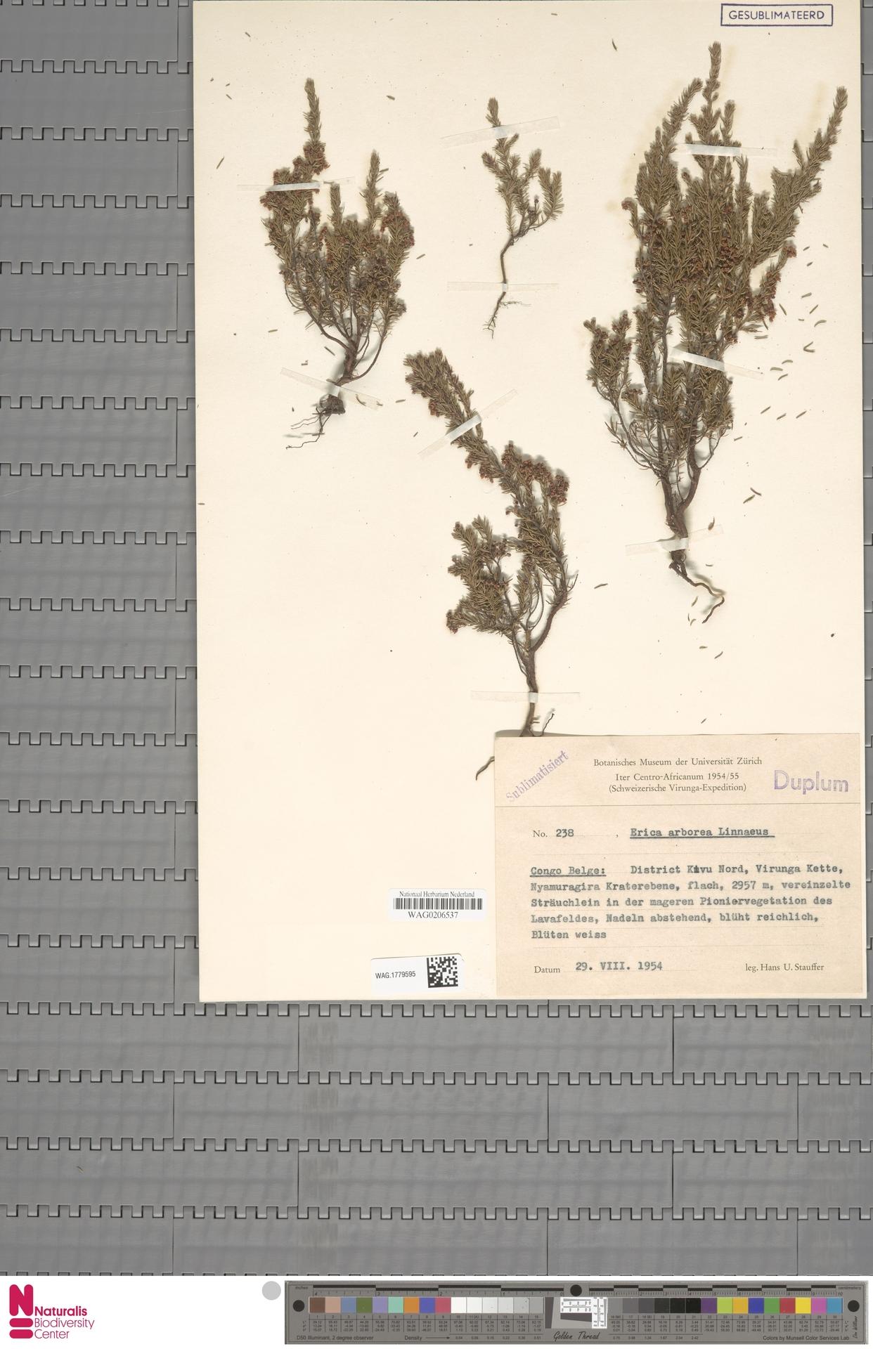 WAG.1779595 | Erica arborea L.