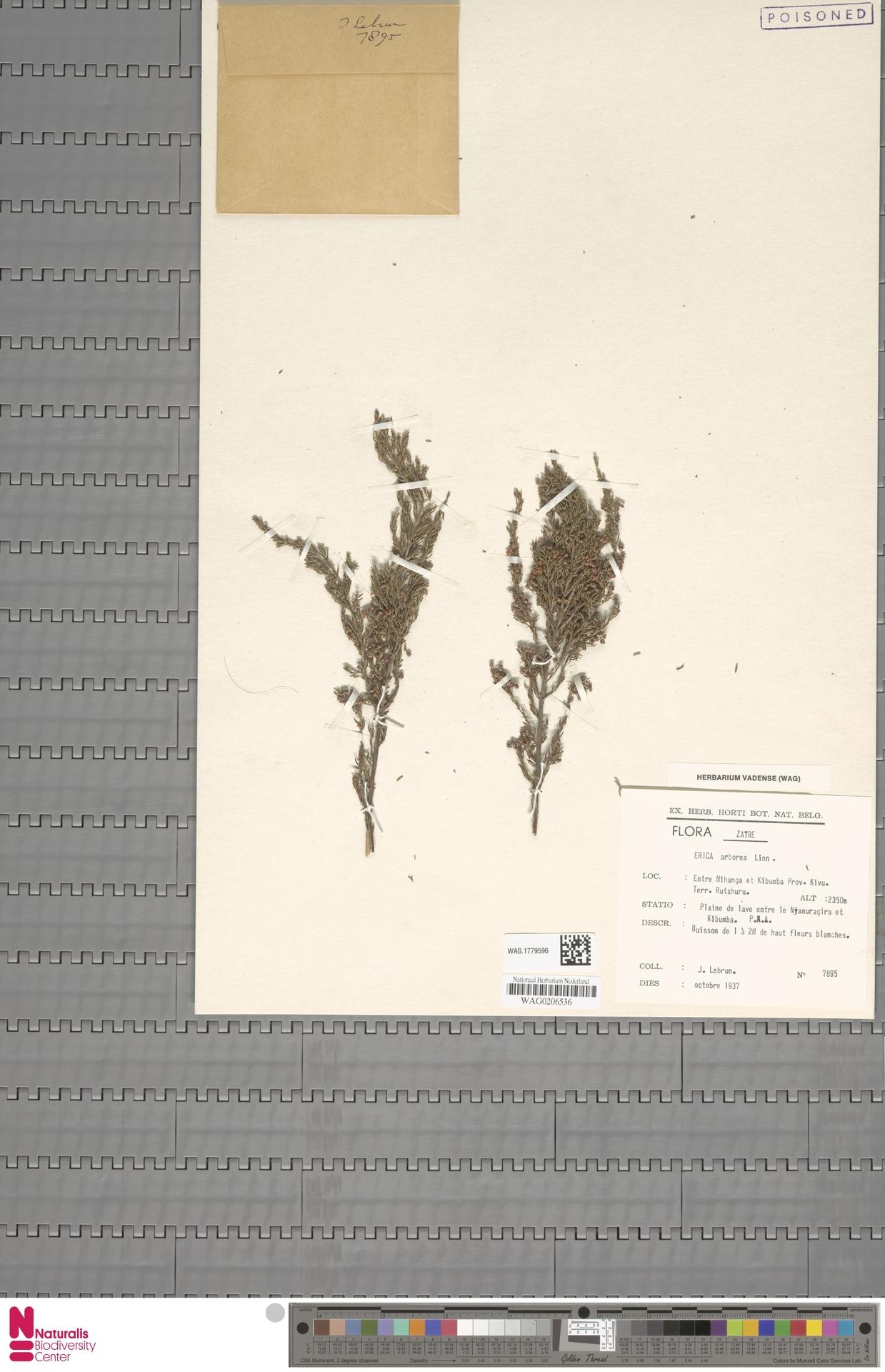 WAG.1779596 | Erica arborea L.