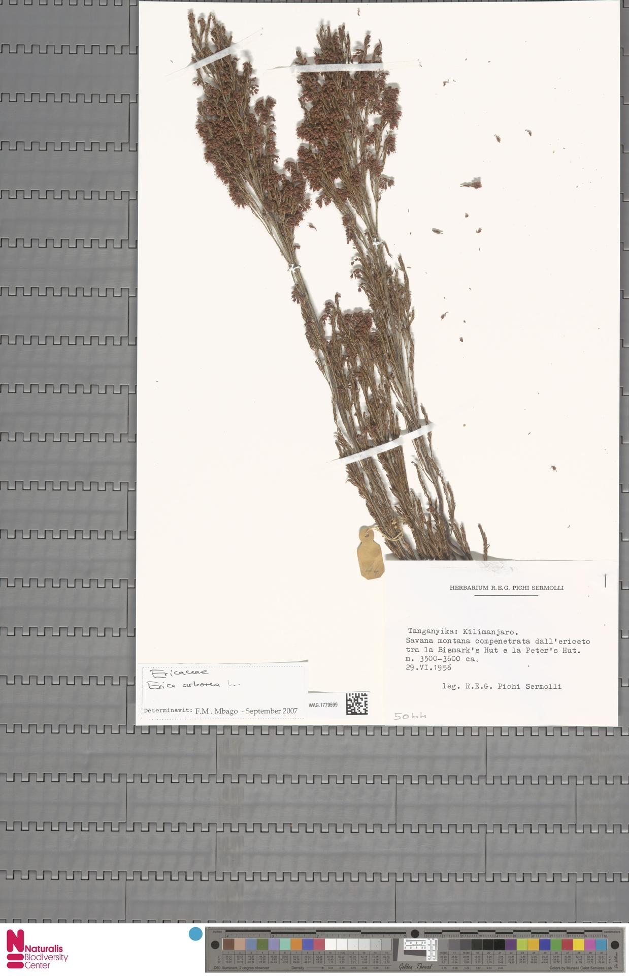 WAG.1779599 | Erica arborea L.