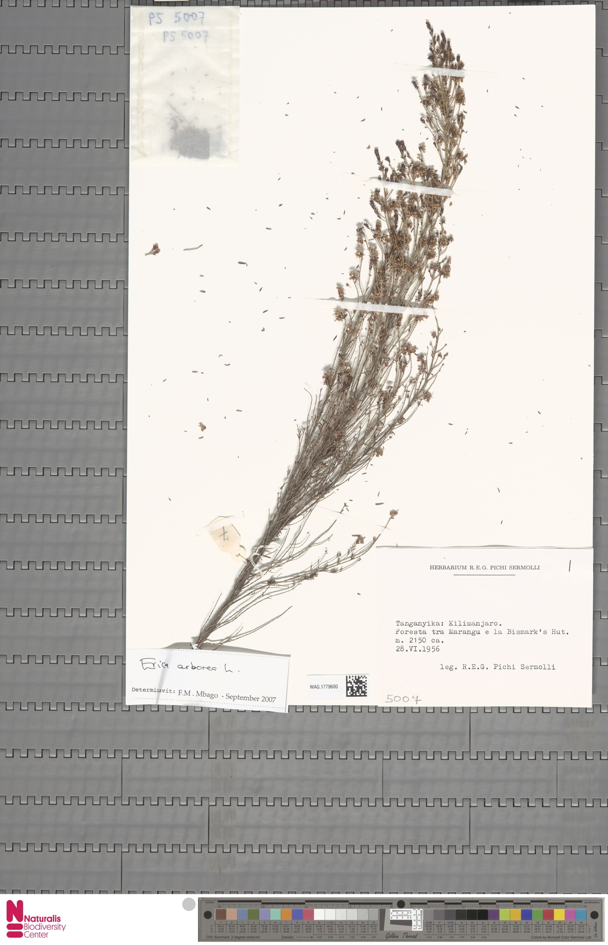 WAG.1779600 | Erica arborea L.