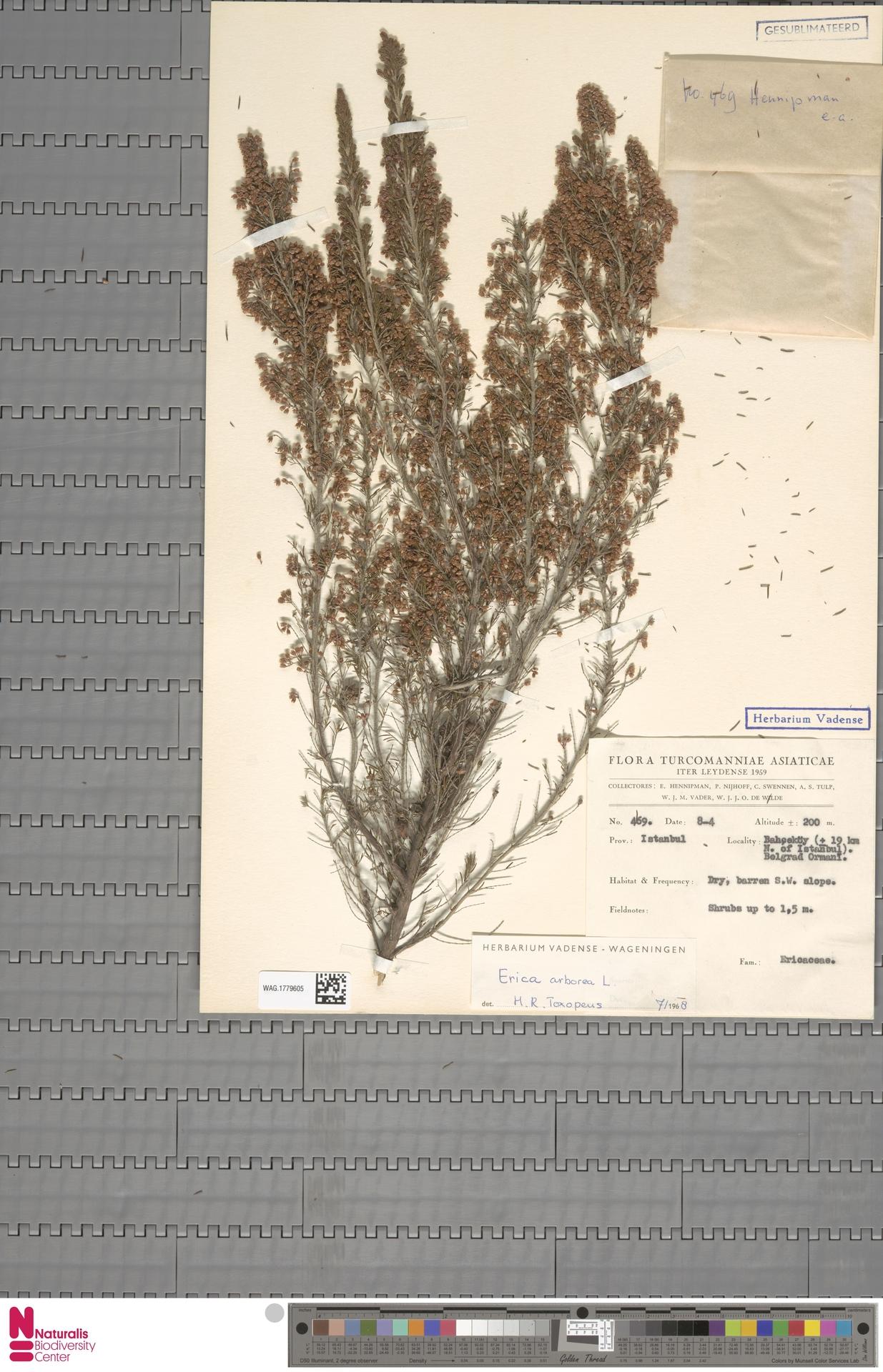 WAG.1779605   Erica arborea L.