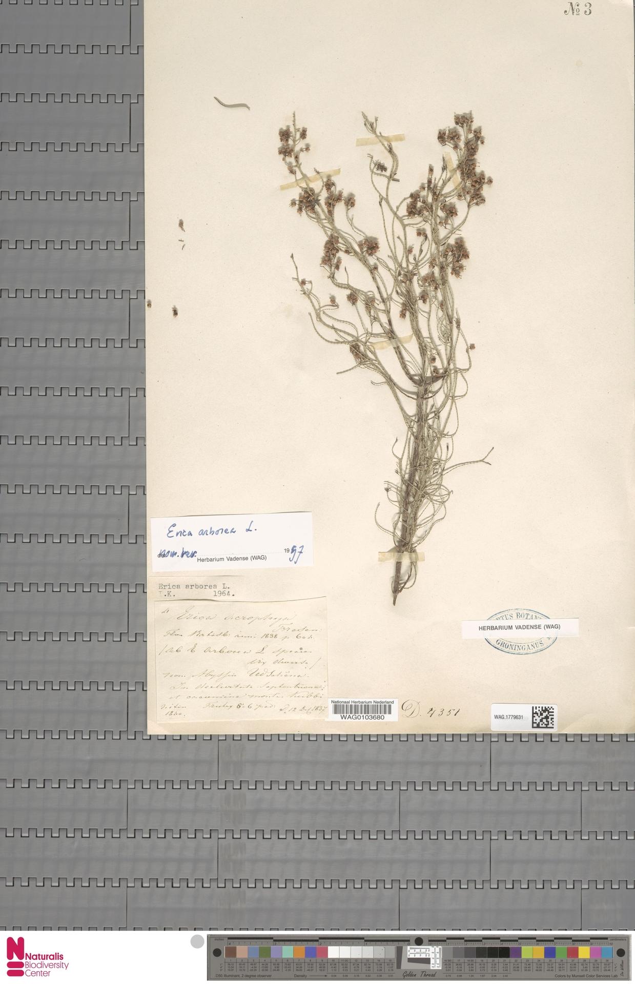 WAG.1779631 | Erica arborea L.