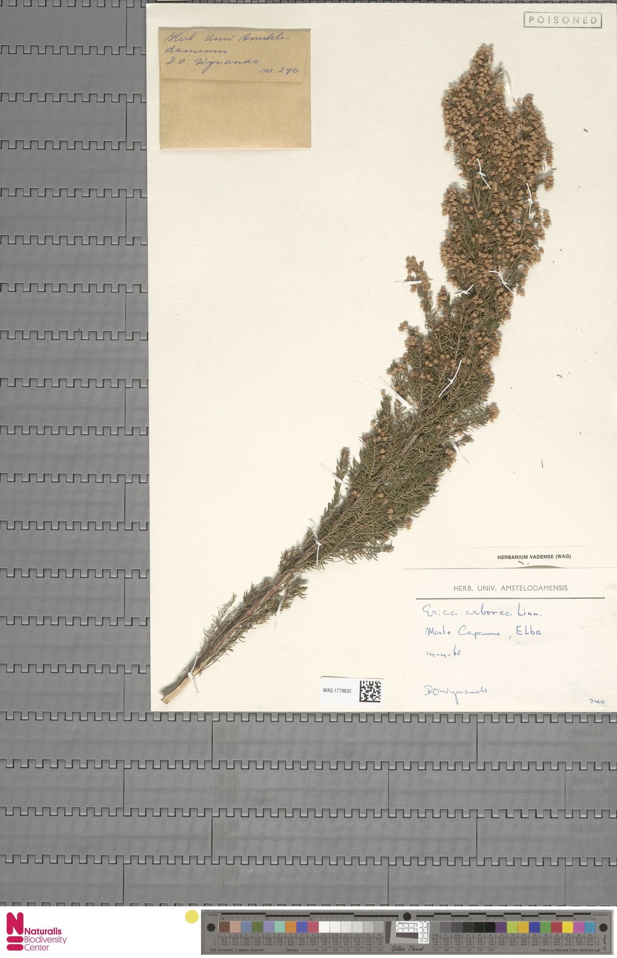 WAG.1779632 | Erica arborea L.