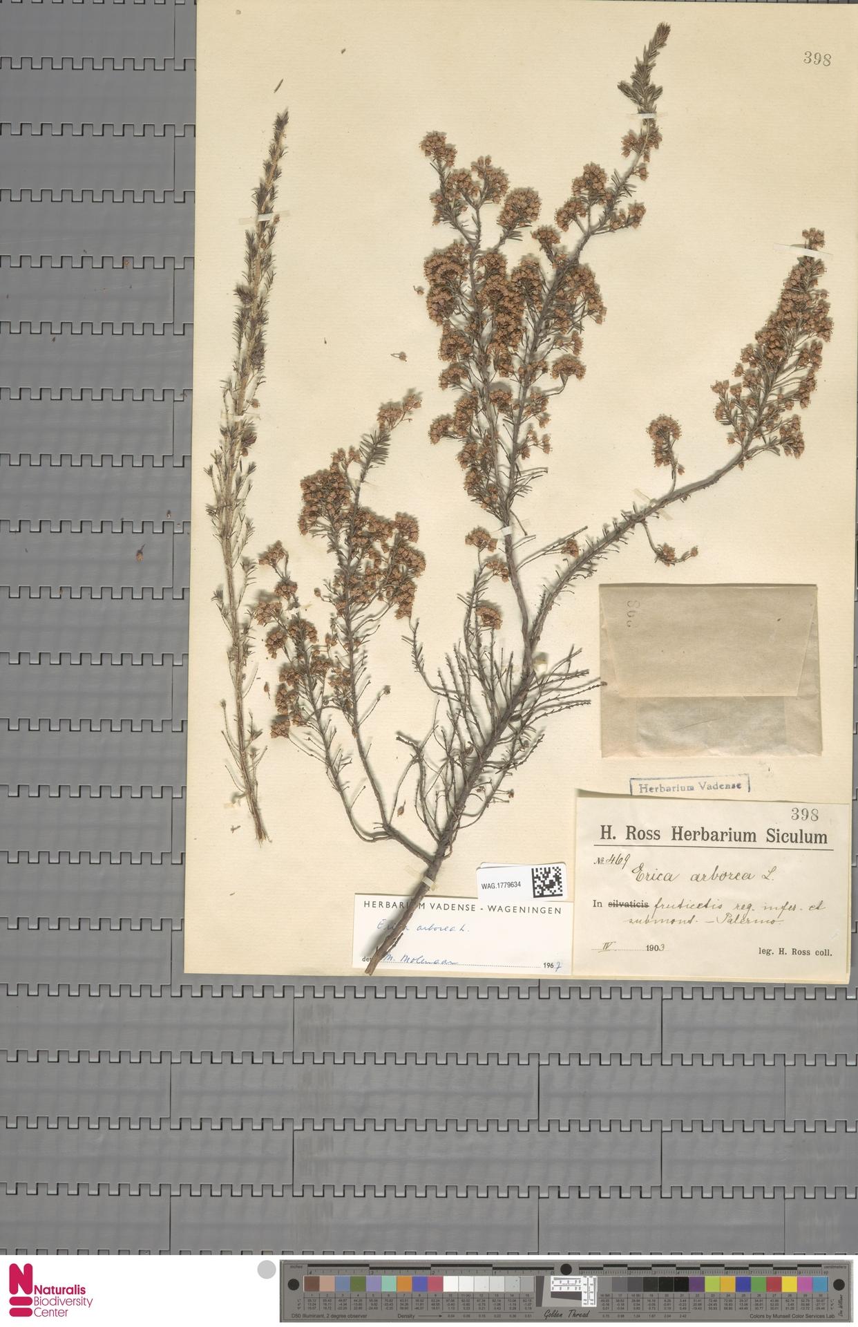 WAG.1779634 | Erica arborea L.