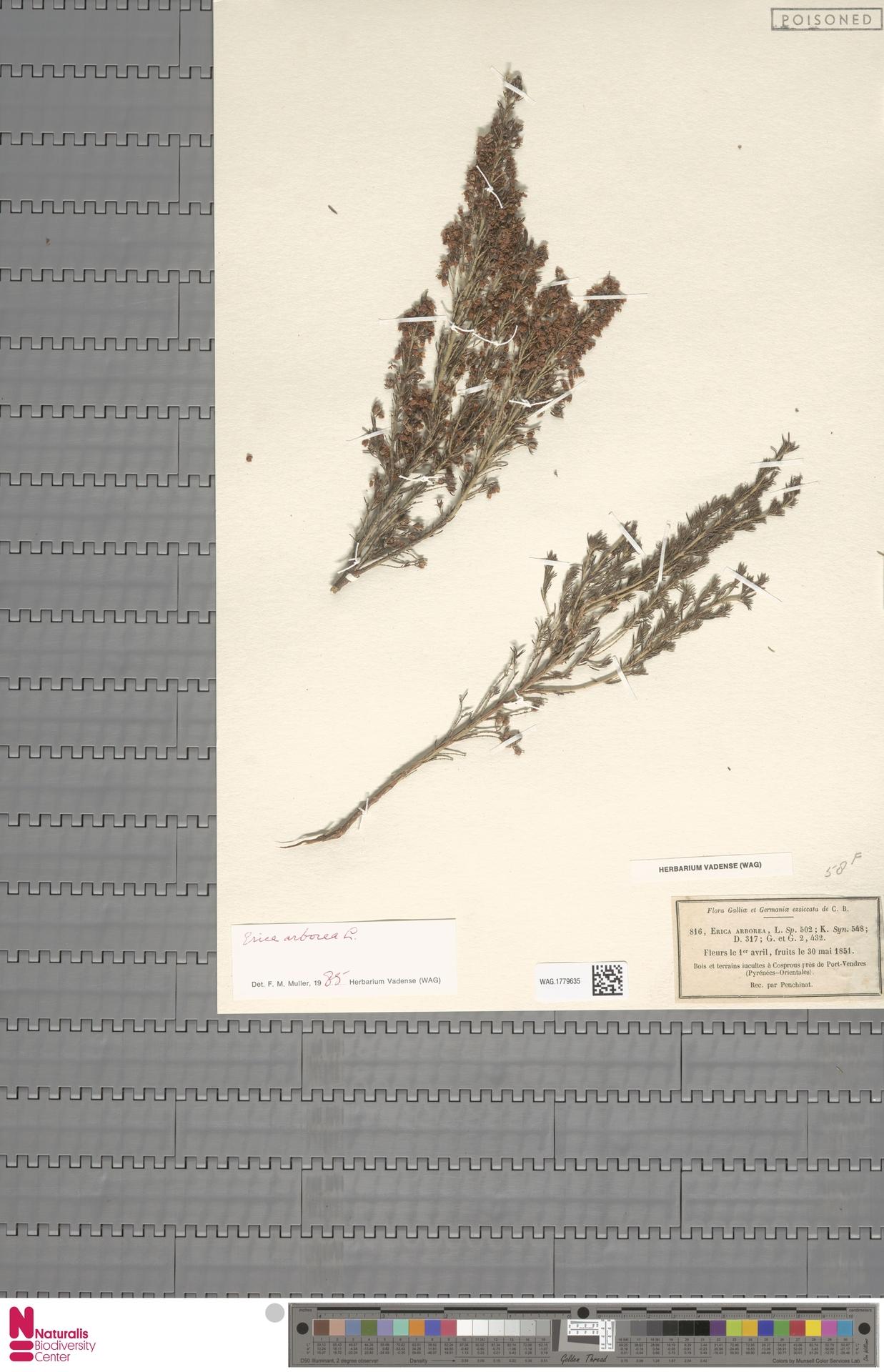 WAG.1779635 | Erica arborea L.