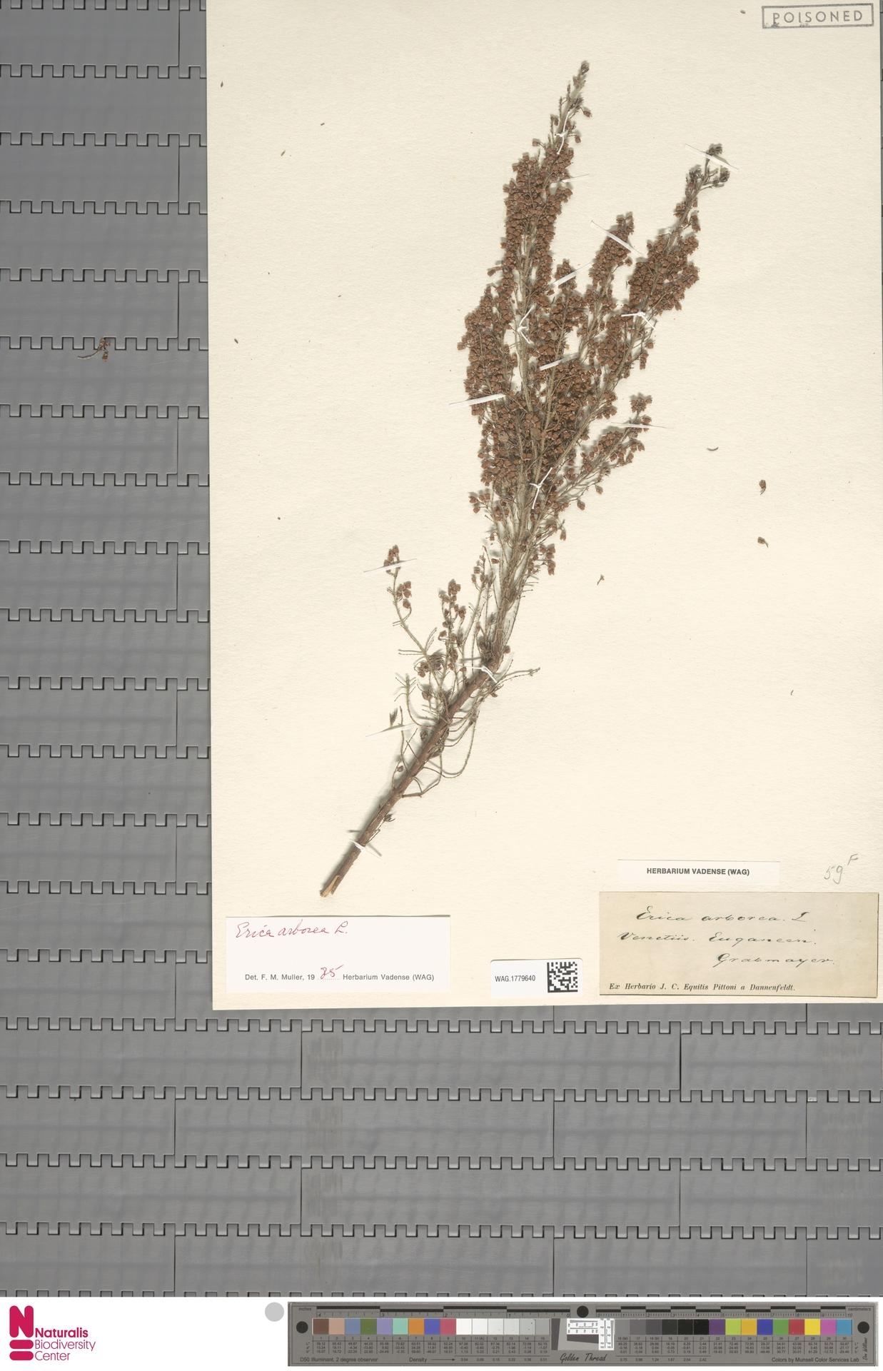 WAG.1779640 | Erica arborea L.