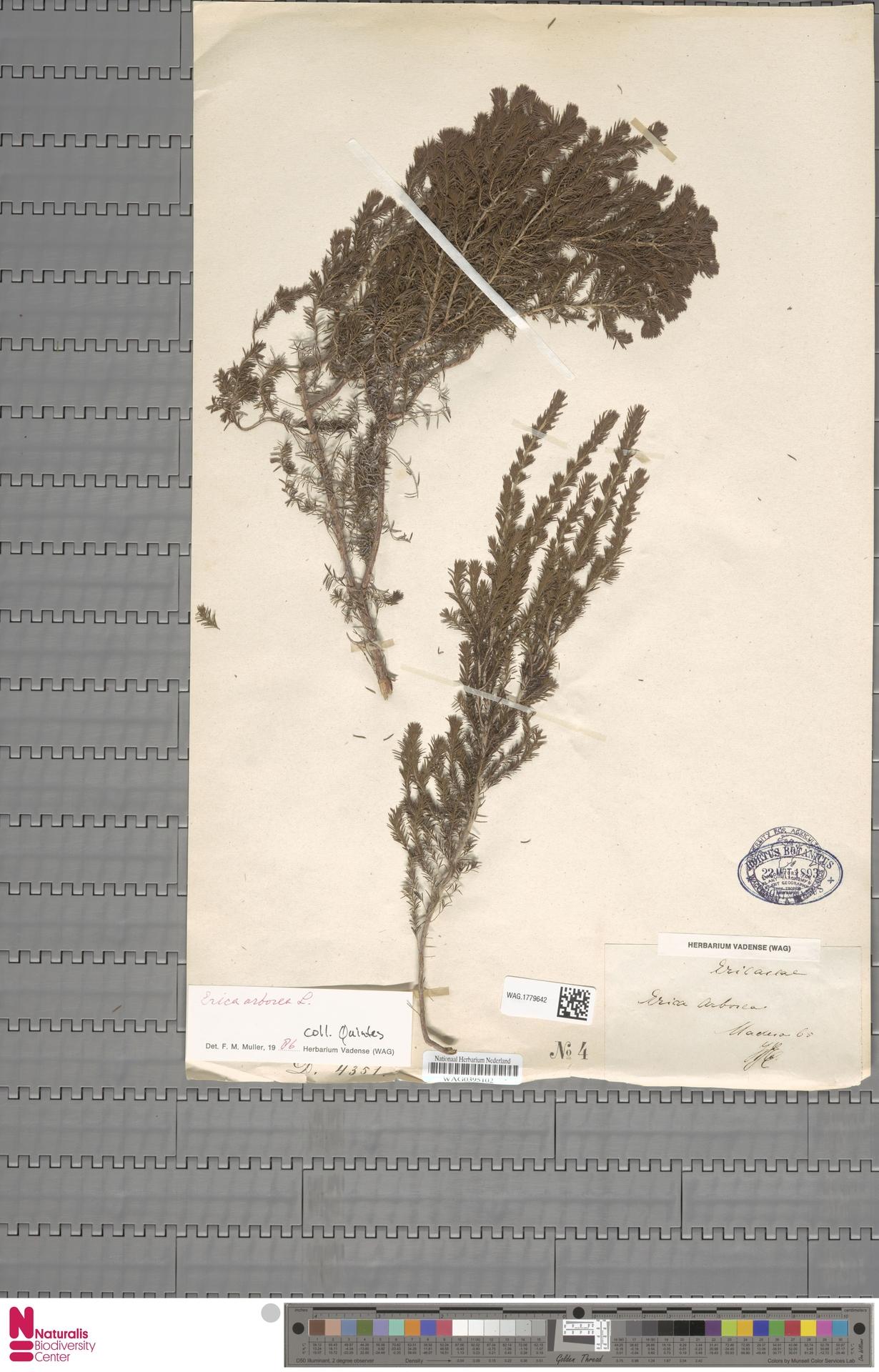 WAG.1779642 | Erica arborea L.