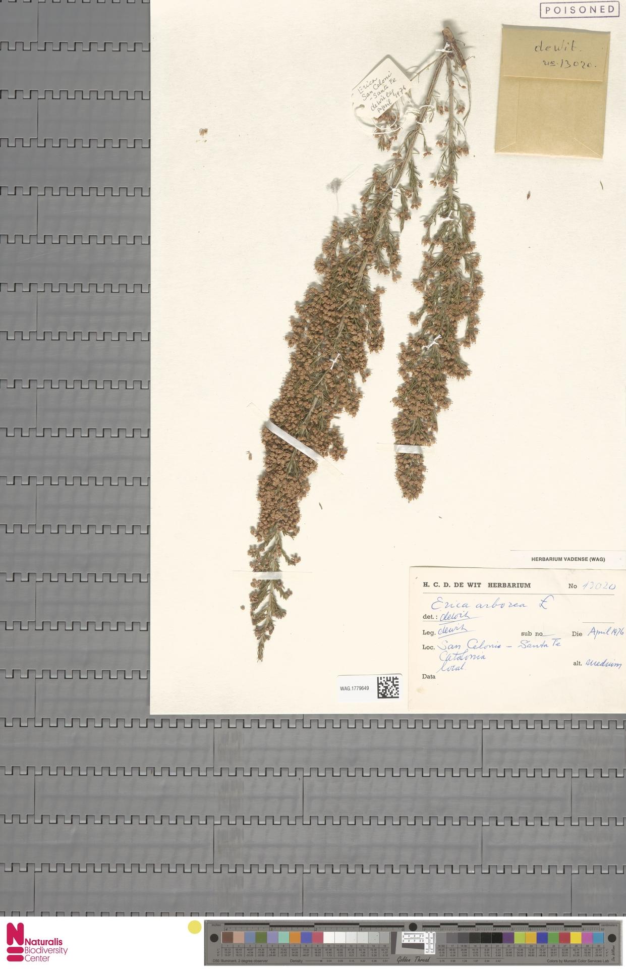 WAG.1779649   Erica arborea L.