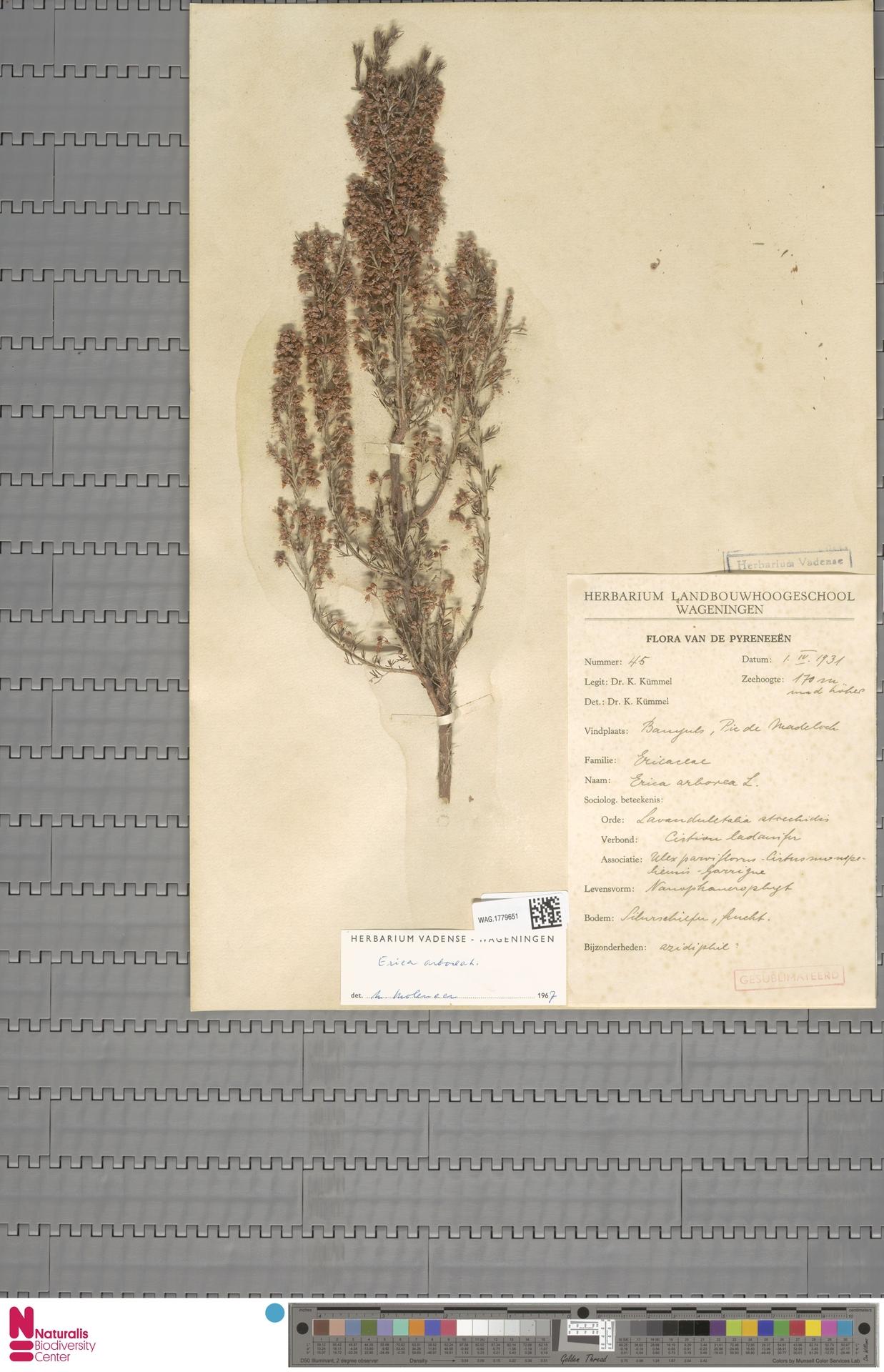 WAG.1779651 | Erica arborea L.
