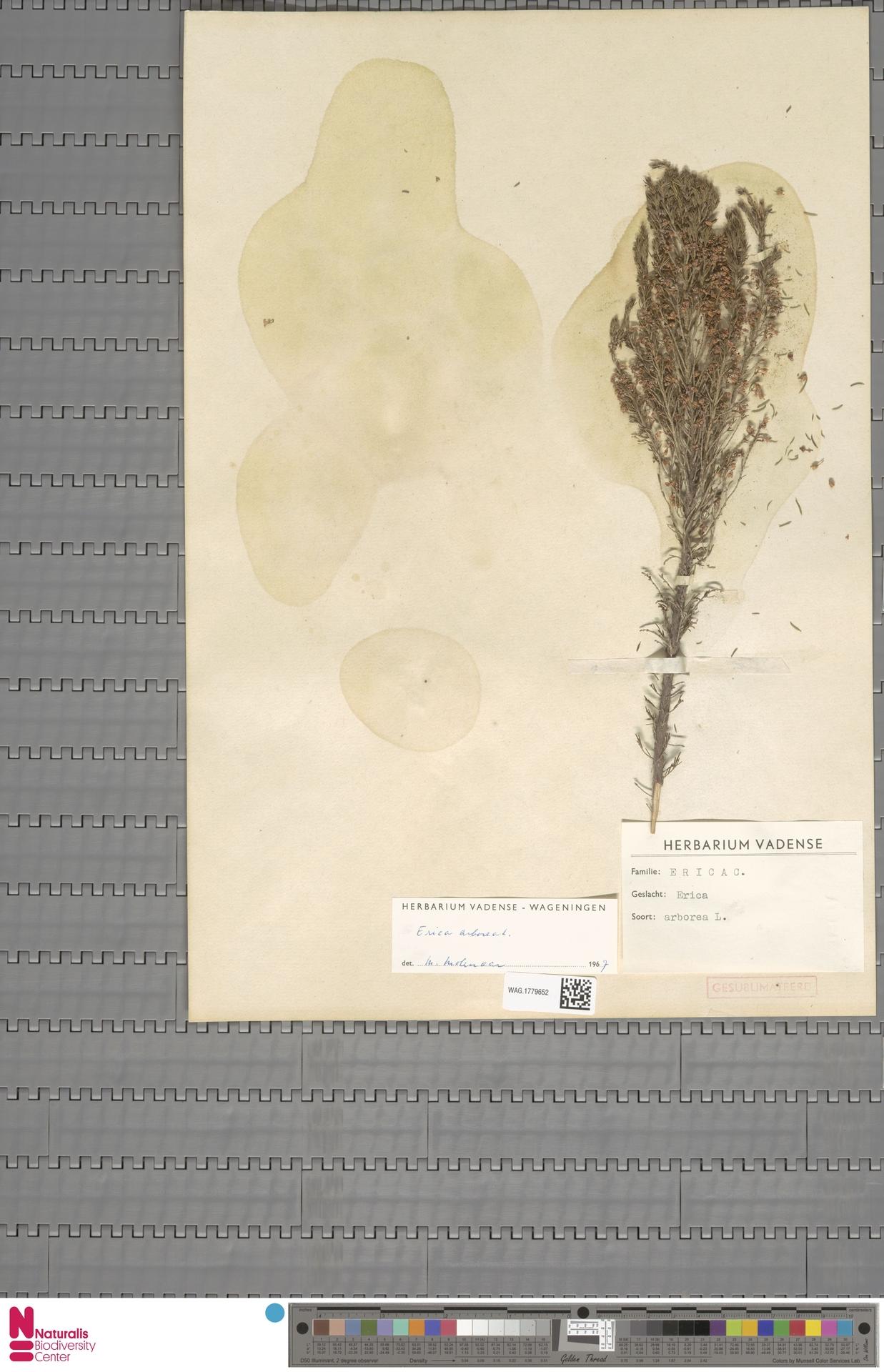 WAG.1779652 | Erica arborea L.