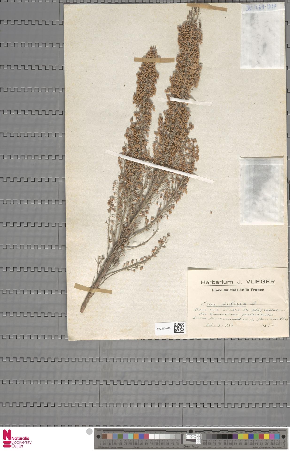 WAG.1779653 | Erica arborea L.