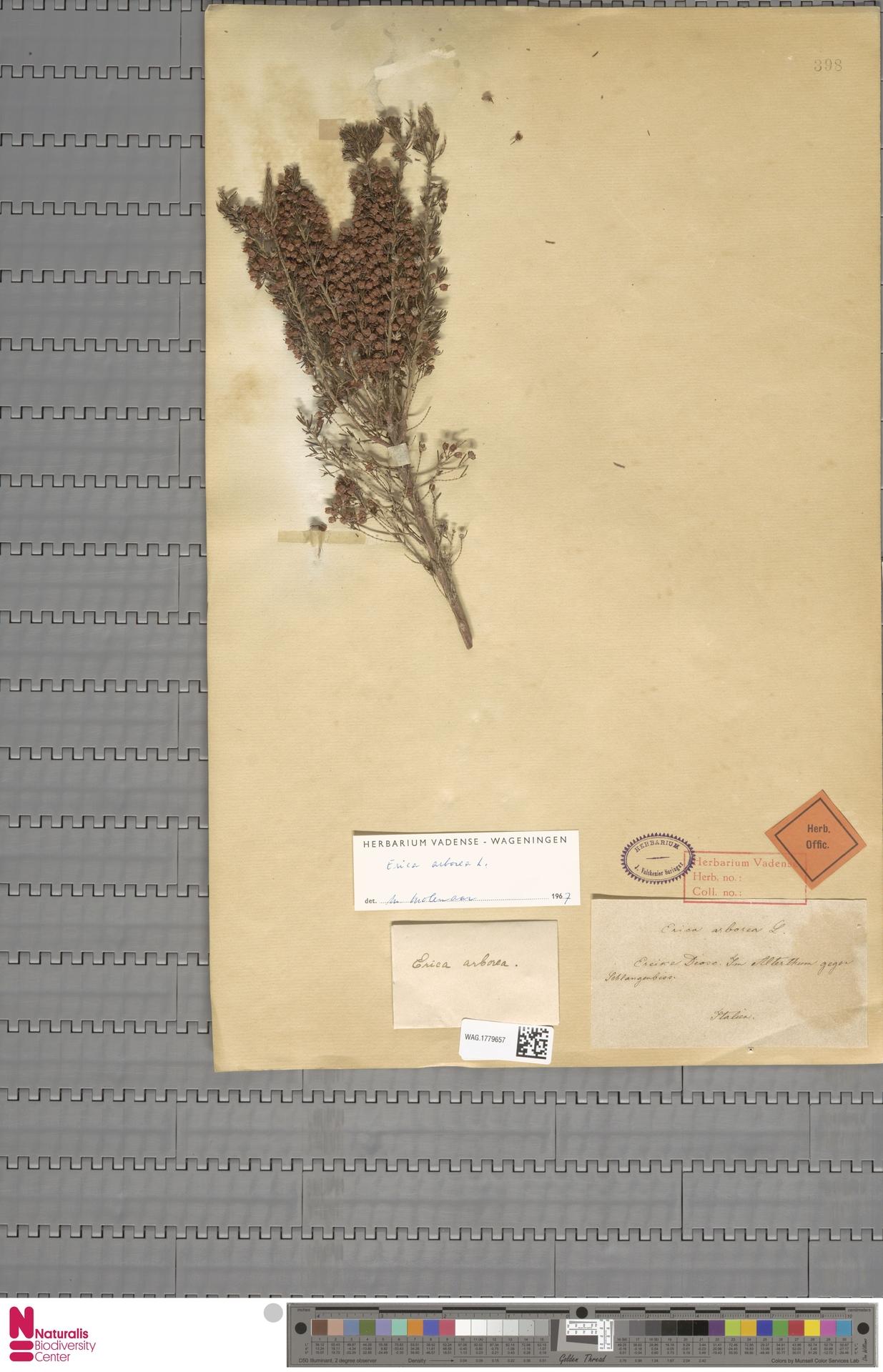 WAG.1779657 | Erica arborea L.