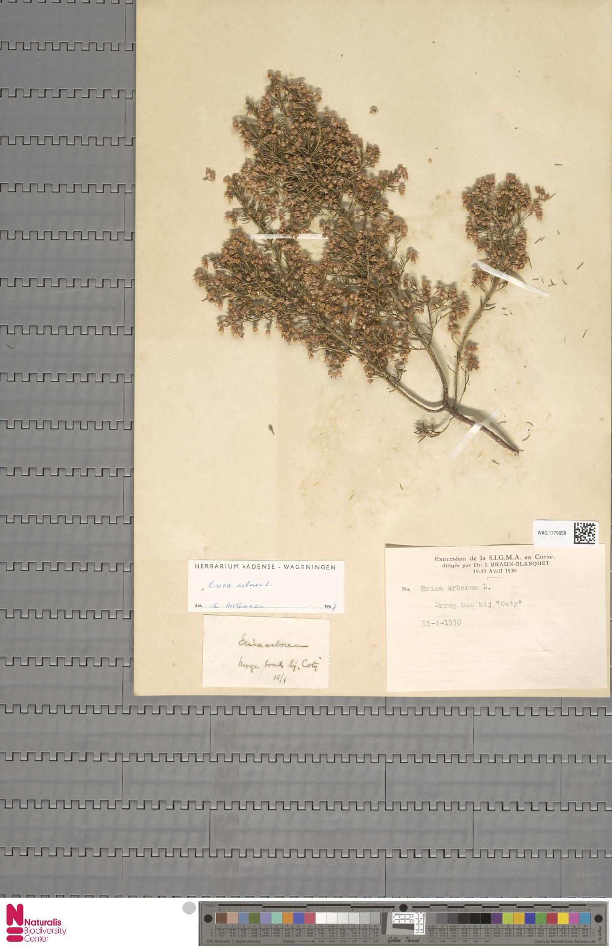 WAG.1779658   Erica arborea L.