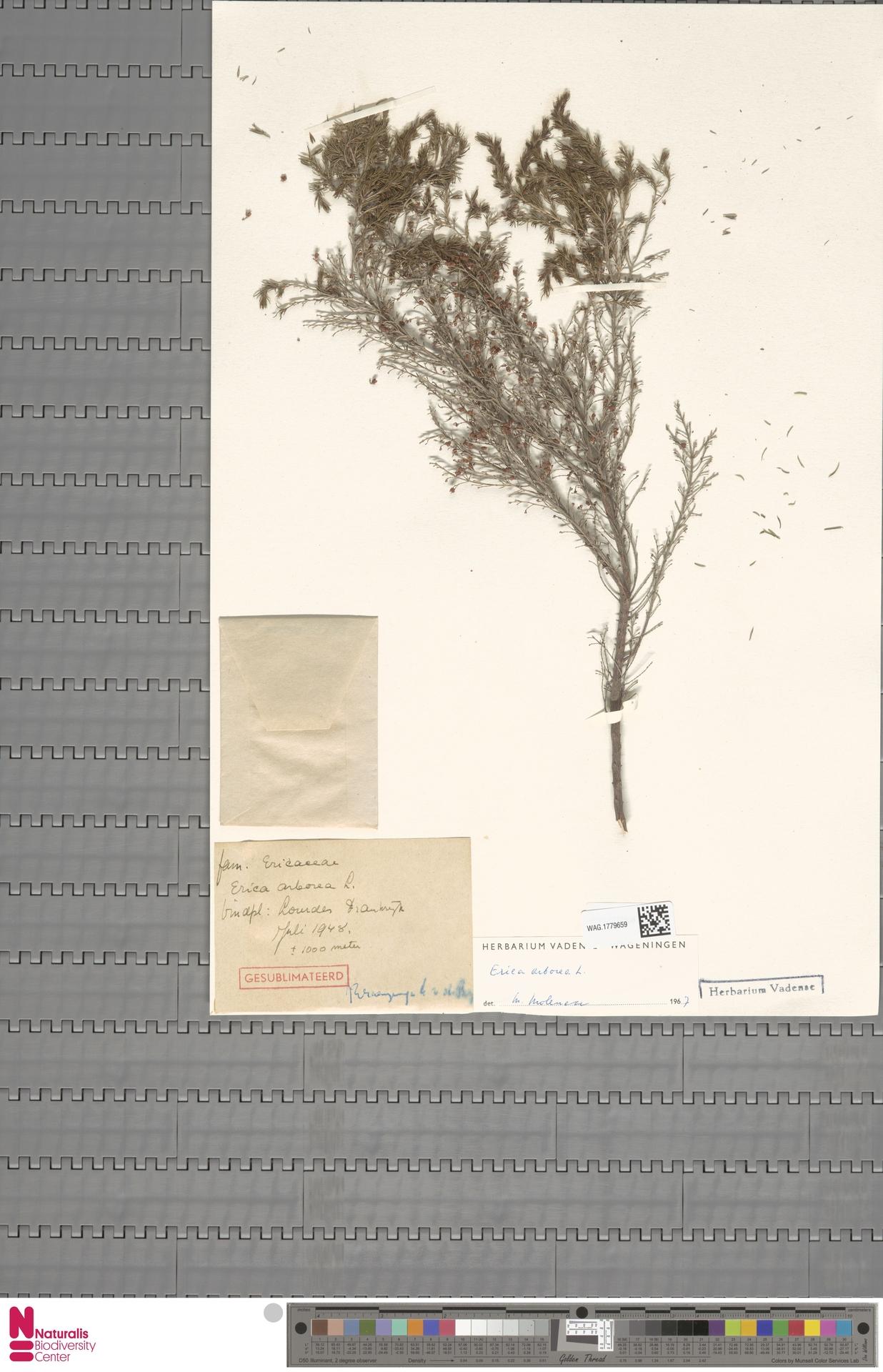WAG.1779659 | Erica arborea L.