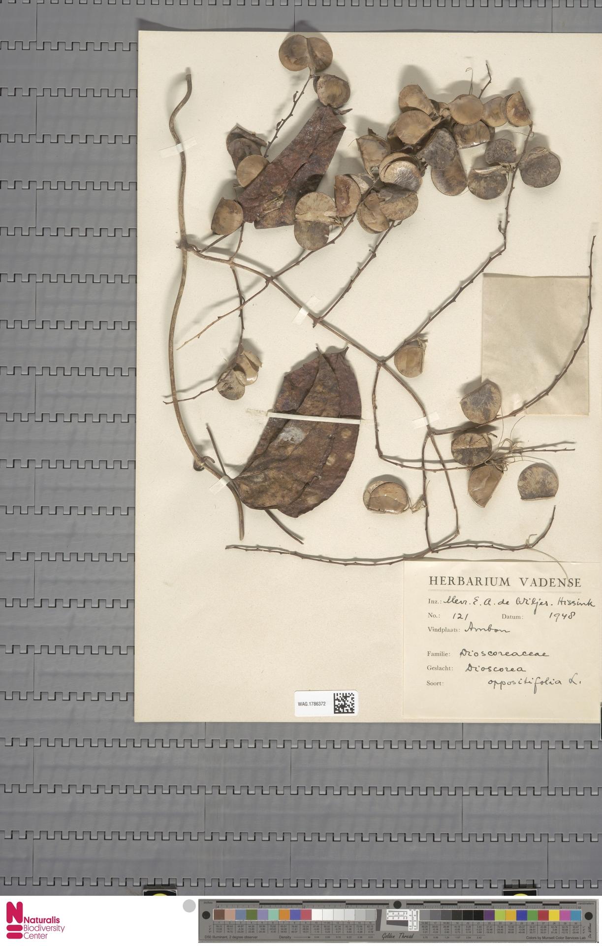 WAG.1786372   Dioscorea oppositifolia L.