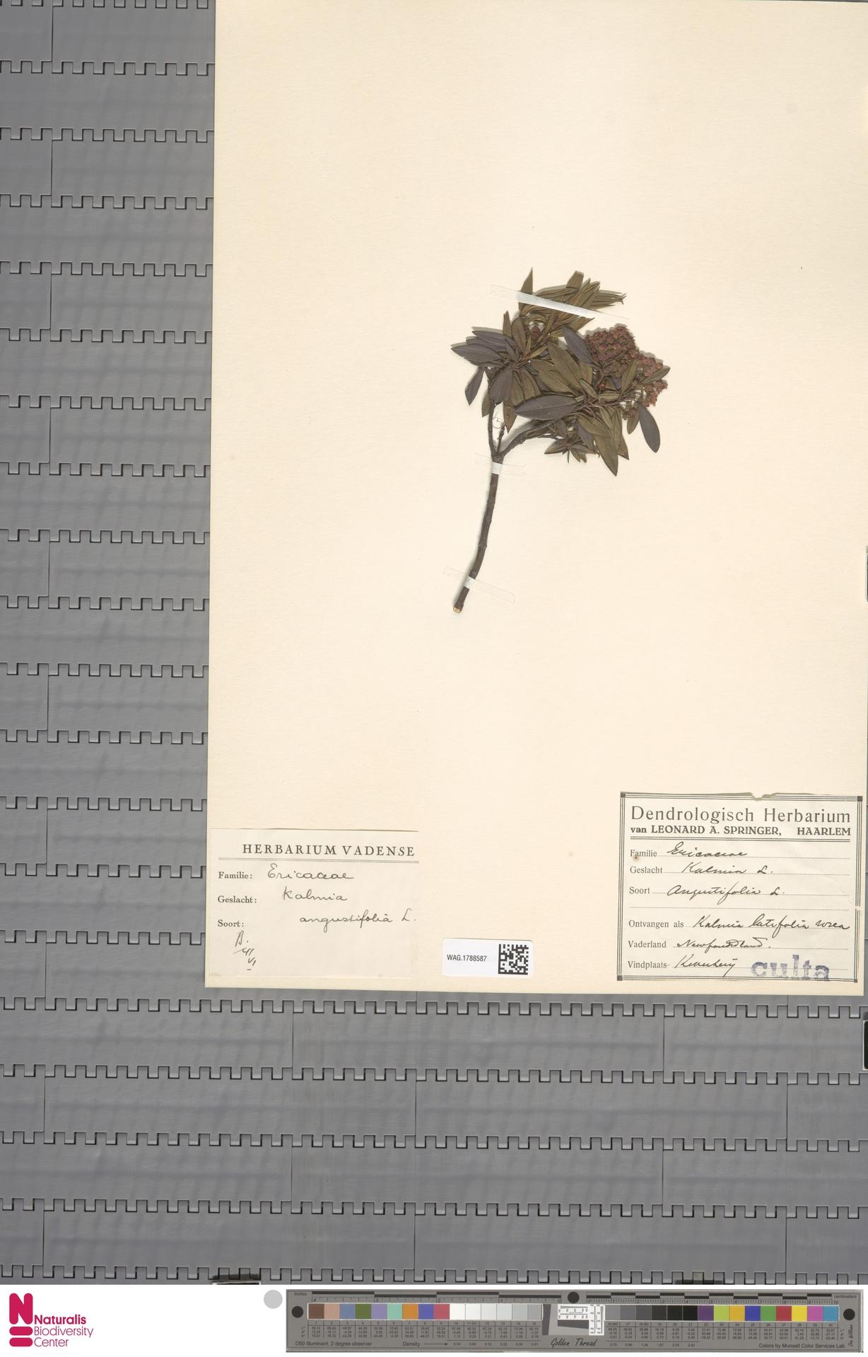 WAG.1788587 | Kalmia angustifolia L.