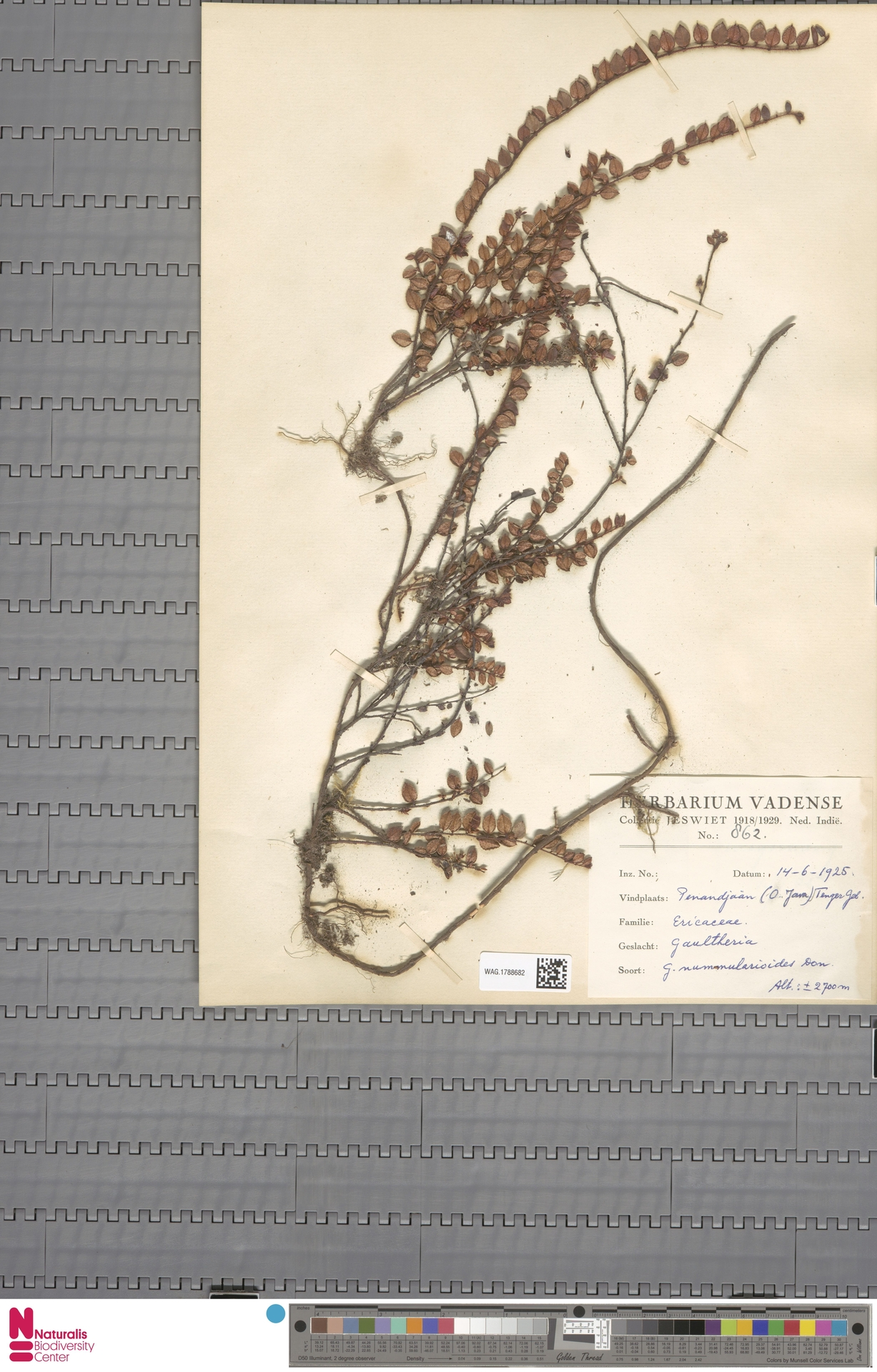 WAG.1788682 | Gaultheria nummularioides G.Don