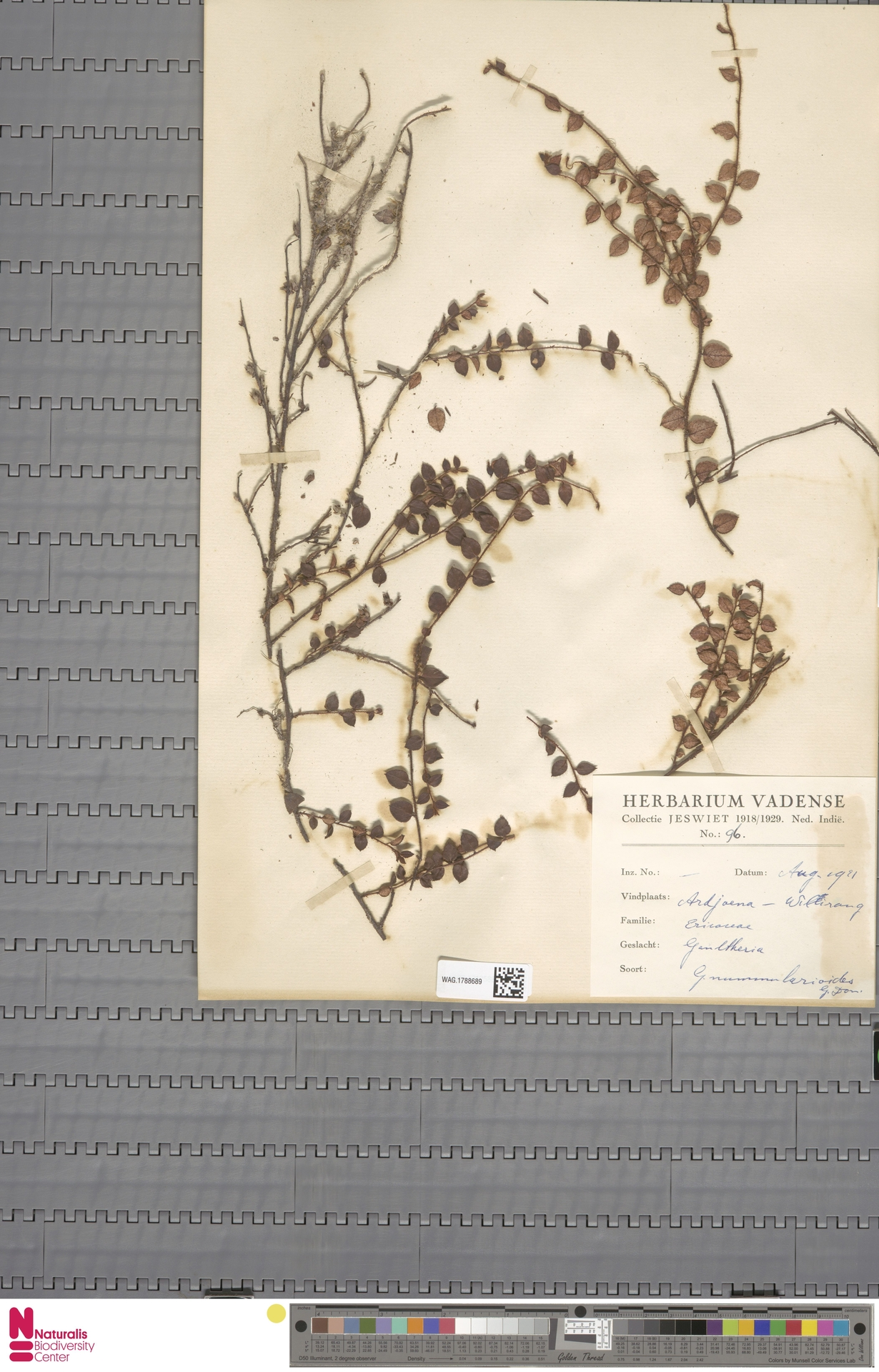 WAG.1788689   Gaultheria nummularioides G.Don