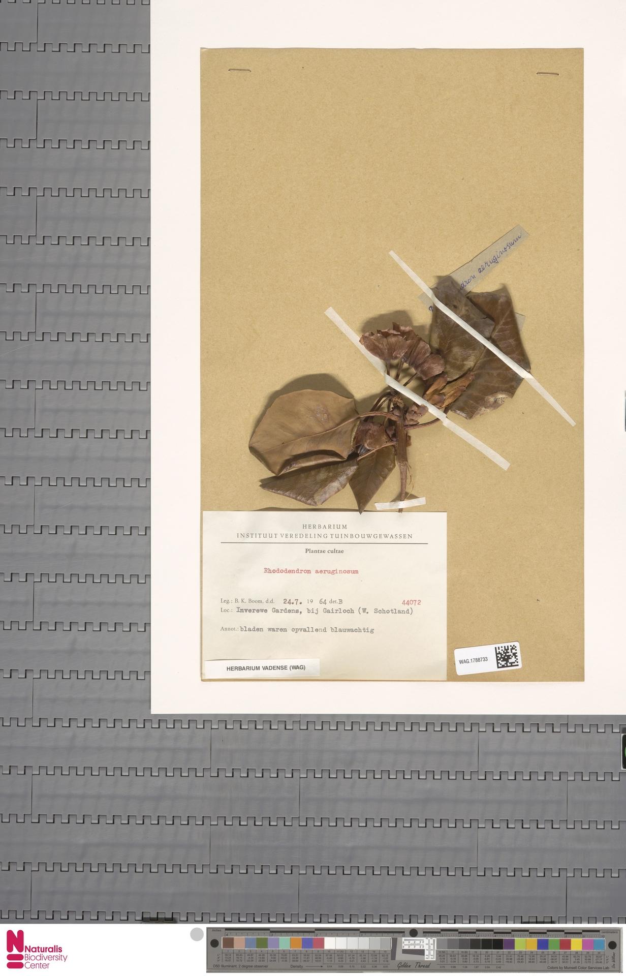 WAG.1788733 | Rhododendron aeruginosum f. ssp.