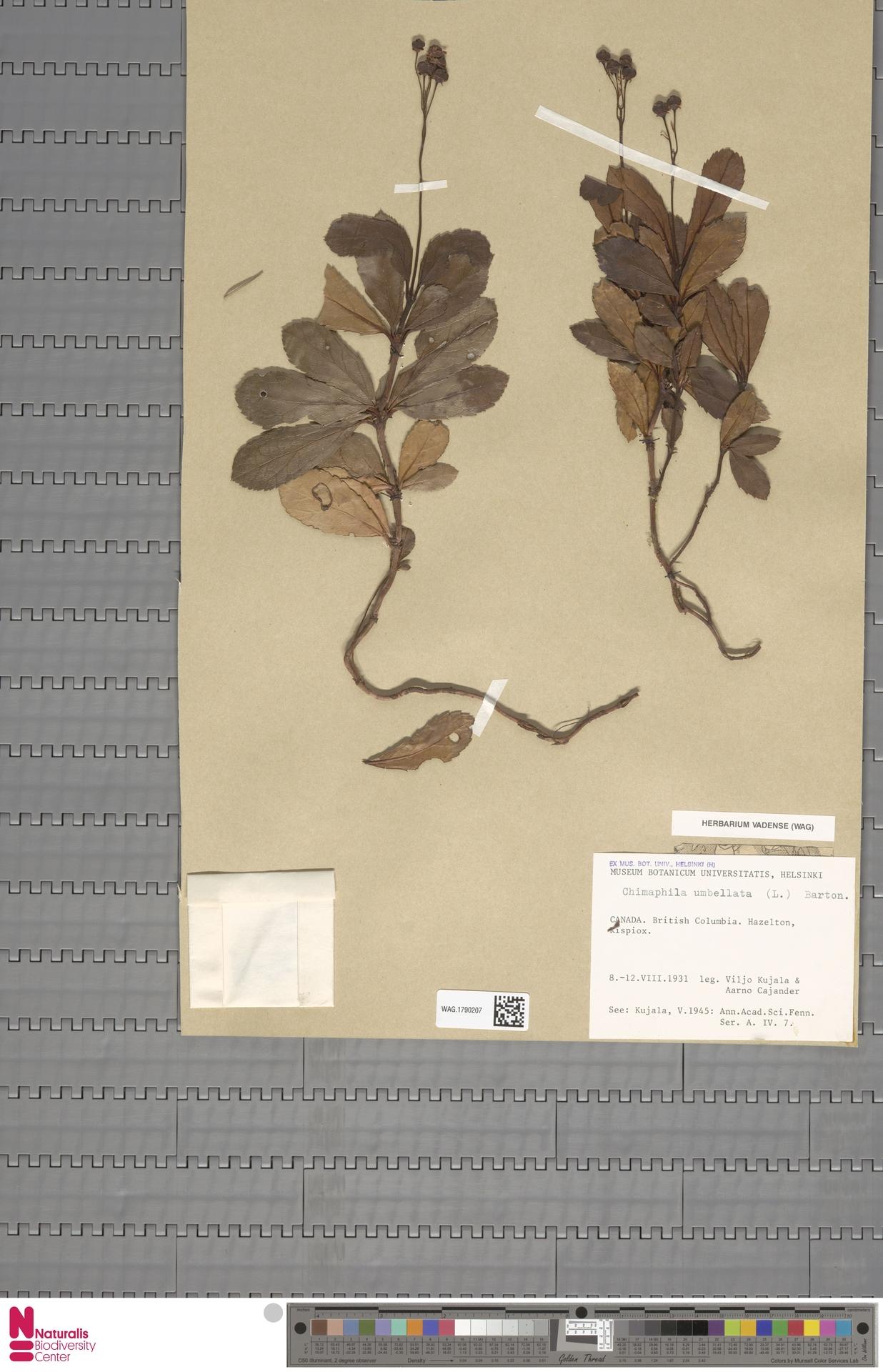 WAG.1790207 | Chimaphila umbellata (L.) W.C.Barton