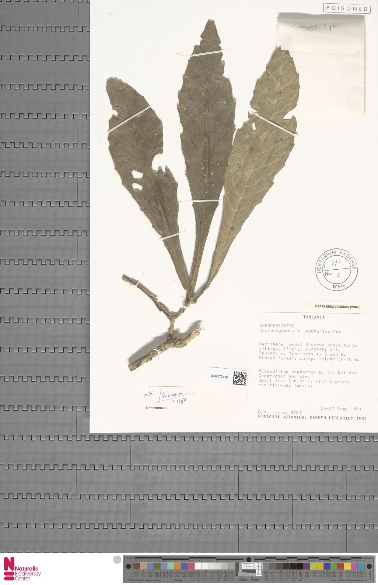 WAG.1793382 | Crotonogynopsis usambarica Pax