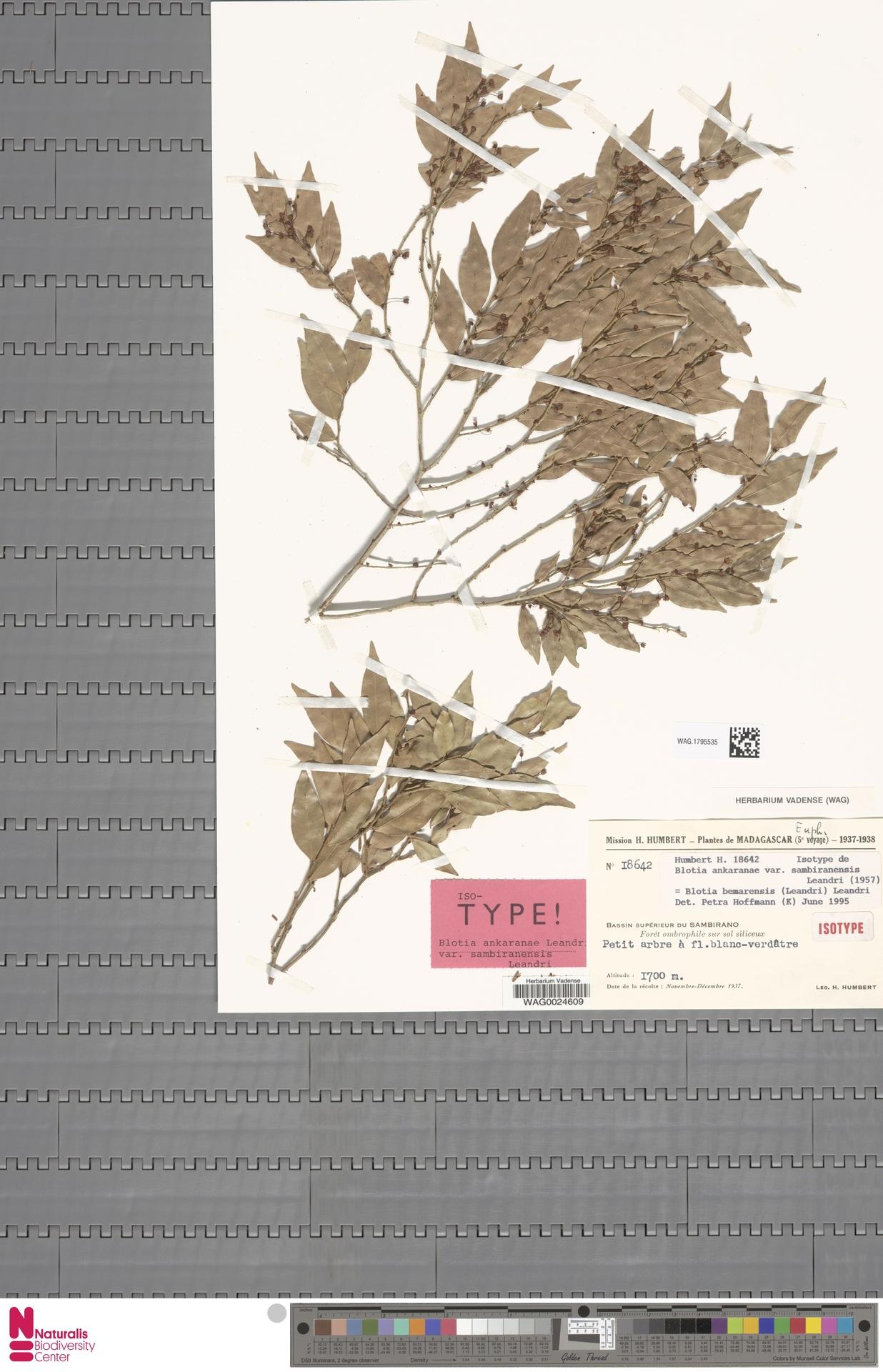 WAG.1795535 | Blotia bemarensis (Leandri) Leandri