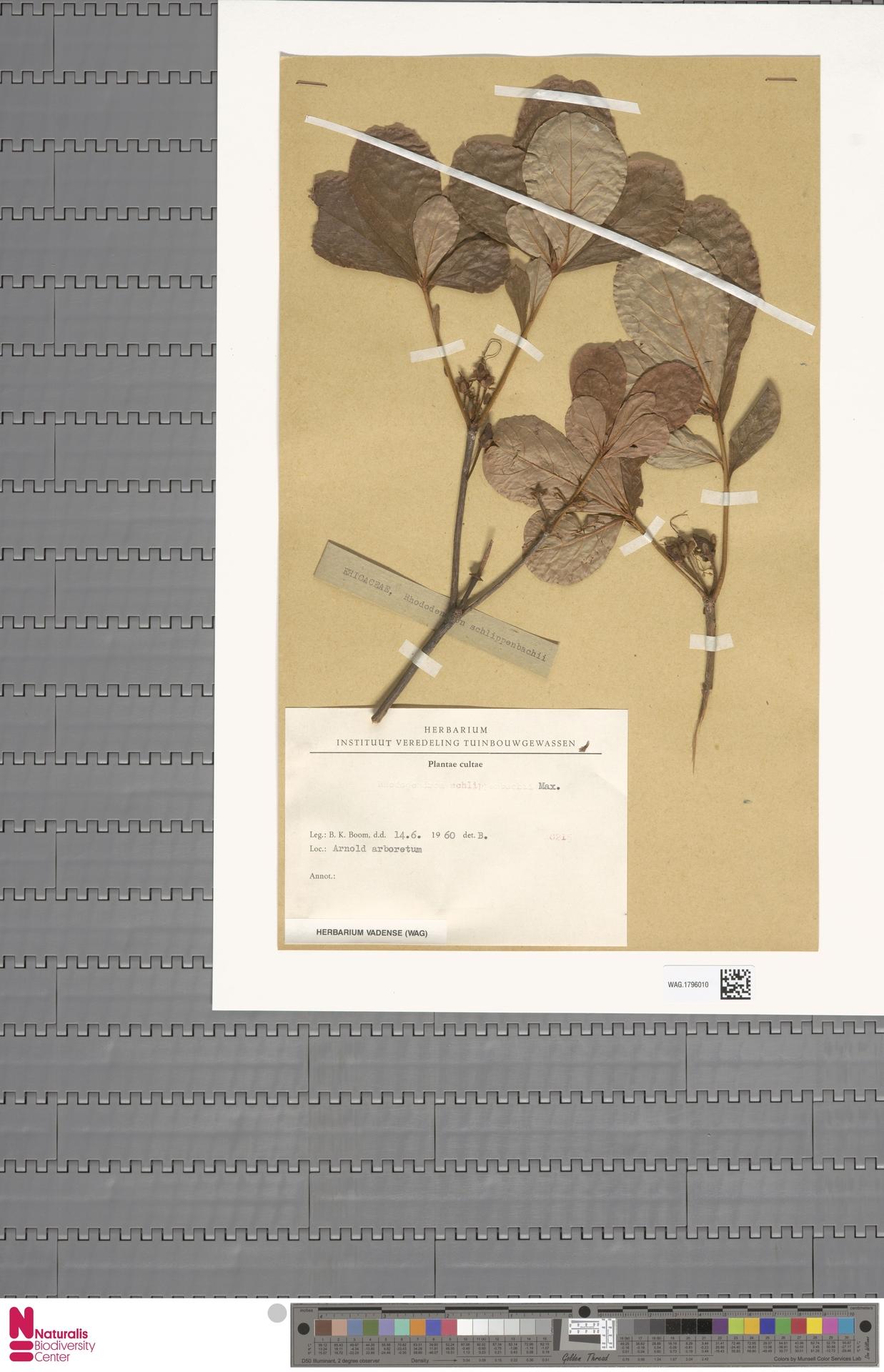 WAG.1796010 | Rhododendron schlippenbachii Maxim.