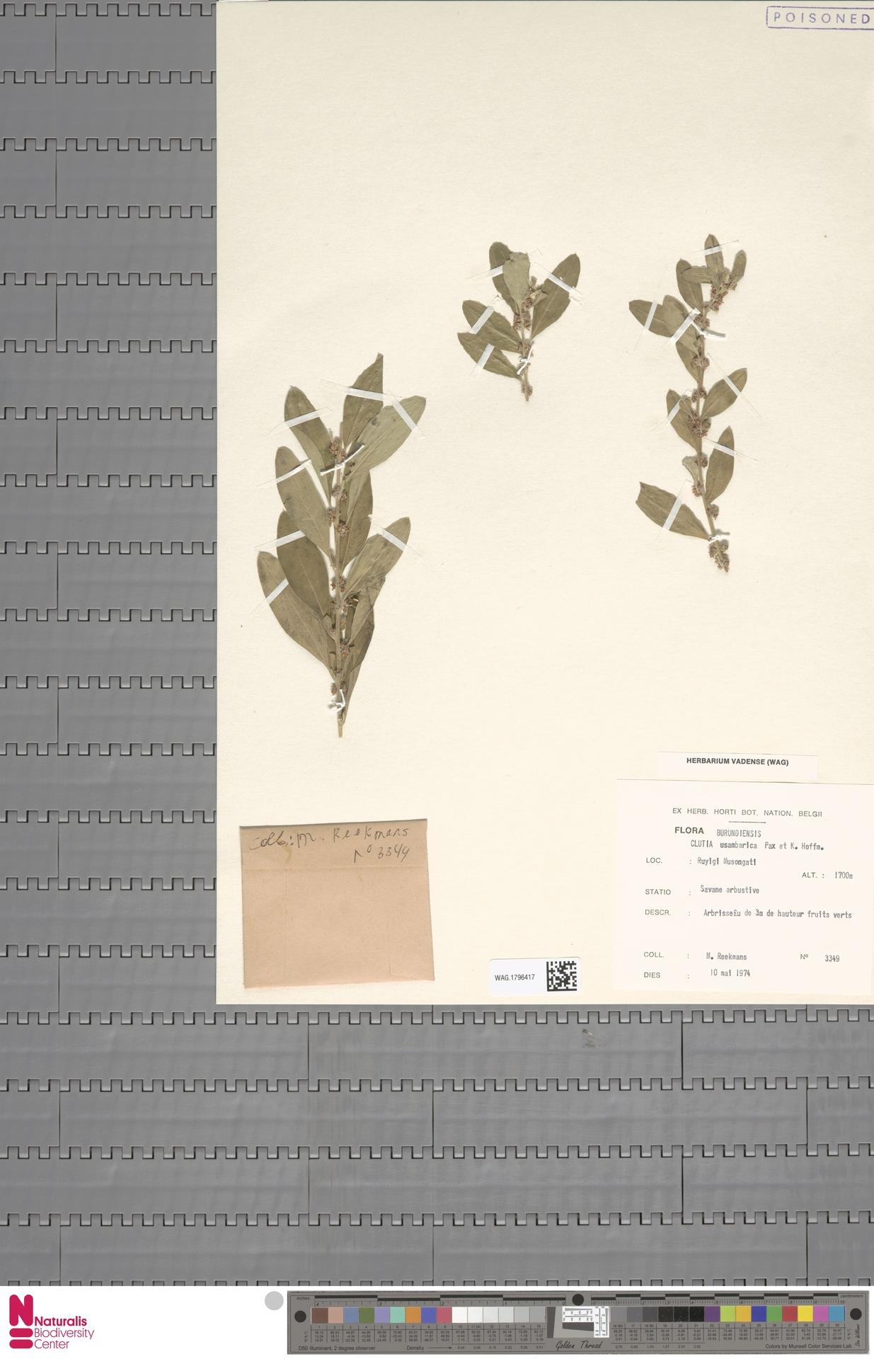 WAG.1796417 | Clutia usambarica Pax & K.Hoffm.