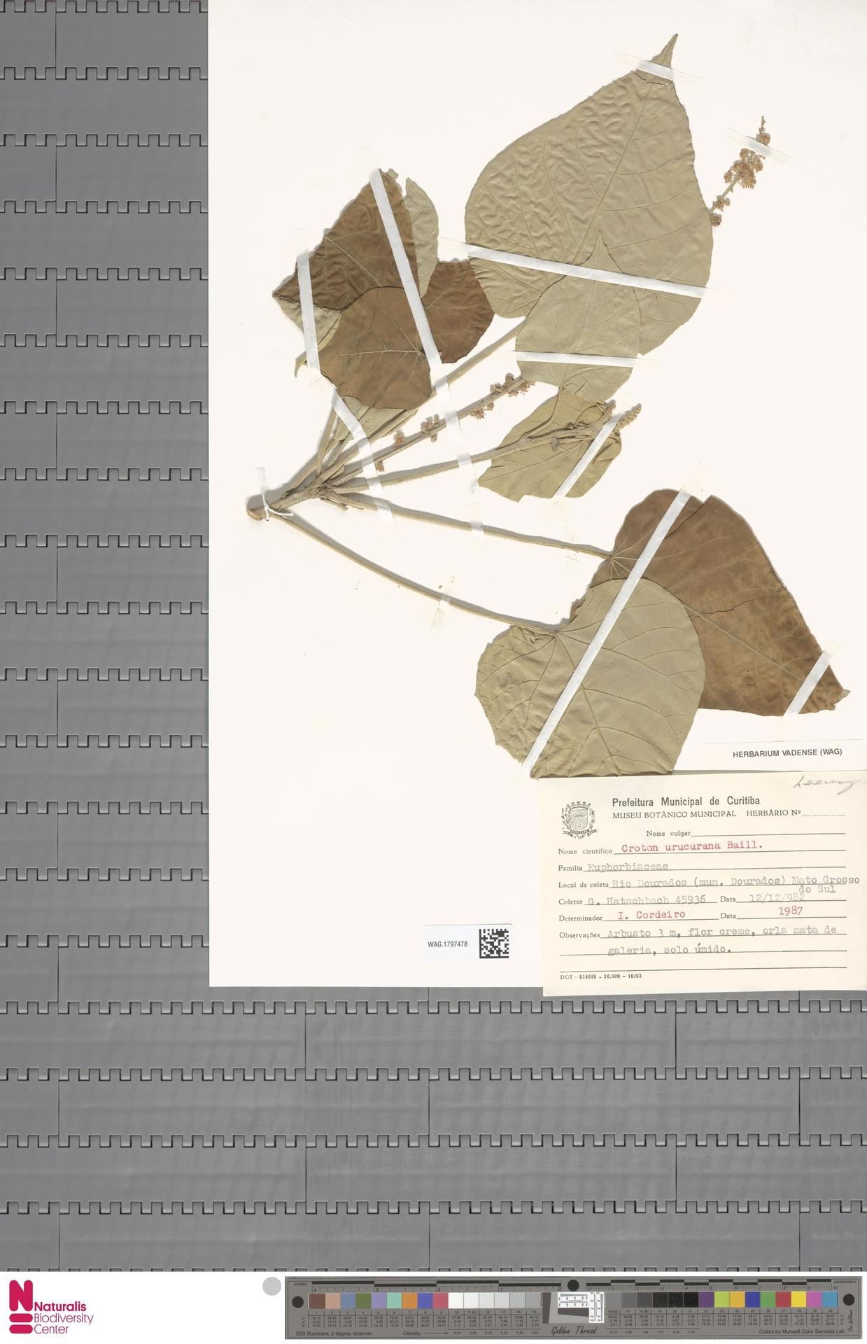 WAG.1797478 | Croton urucurana Baill.
