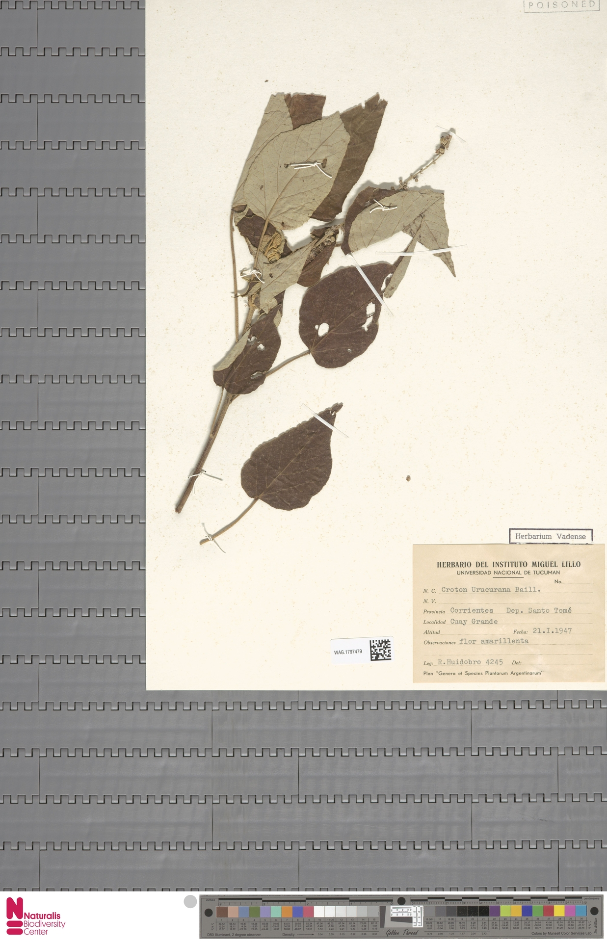 WAG.1797479 | Croton urucurana Baill.