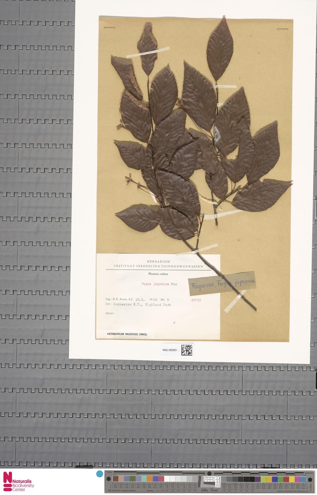 WAG.1802631   Fagus japonica Maxim.