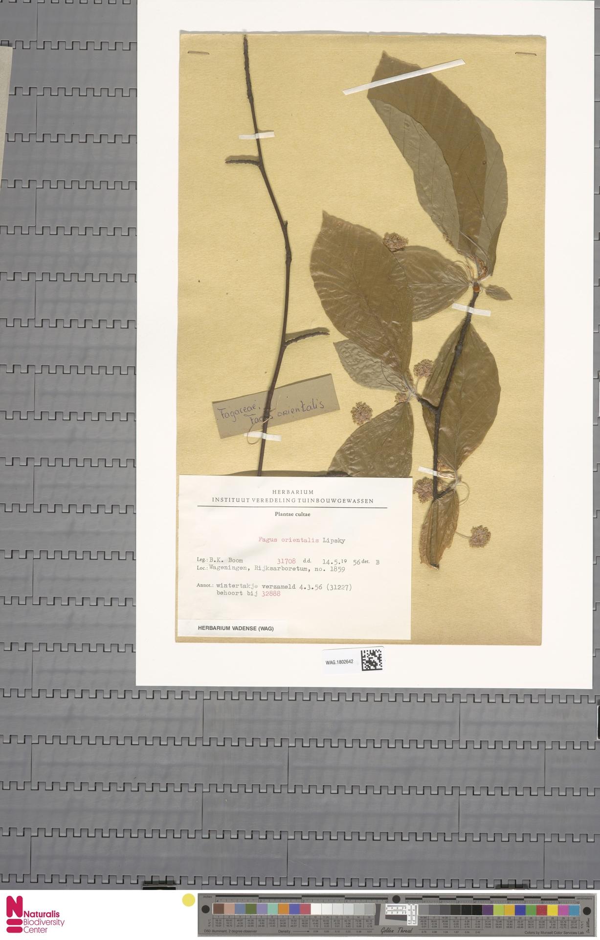 WAG.1802642 | Fagus orientalis Lipsky