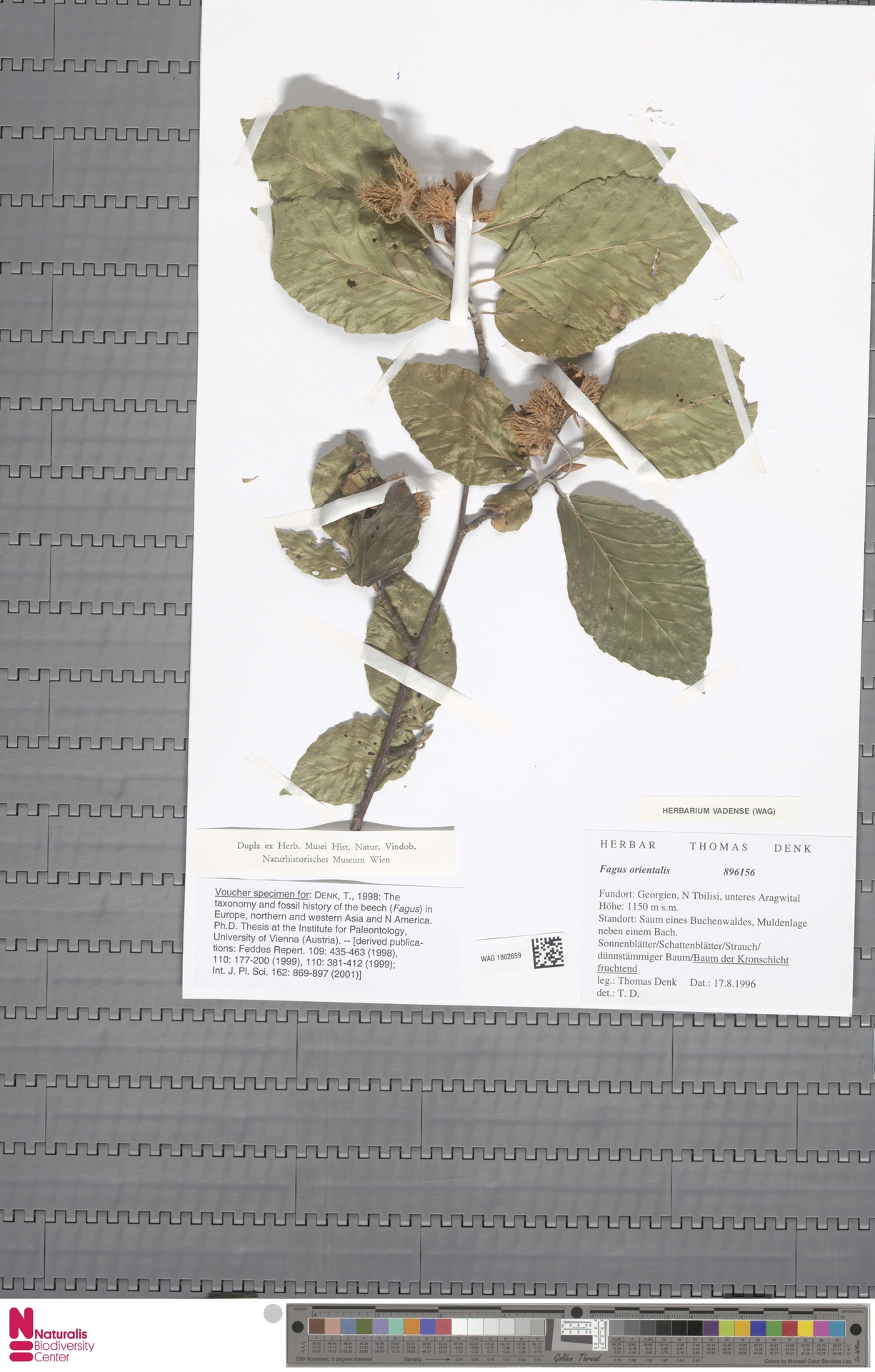 WAG.1802659 | Fagus orientalis Lipsky