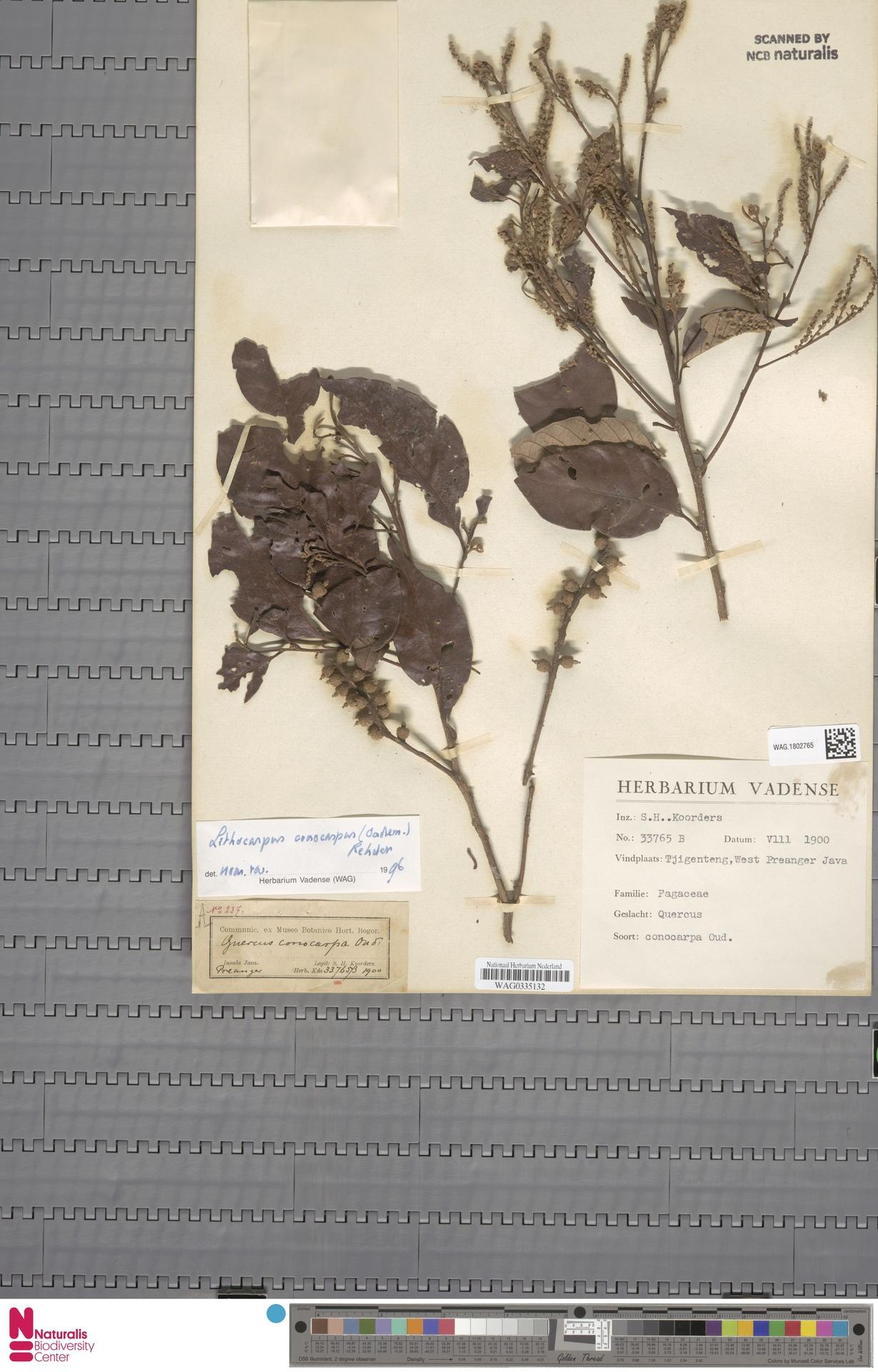 WAG.1802765   Lithocarpus conocarpus (Oudem.) Rehder