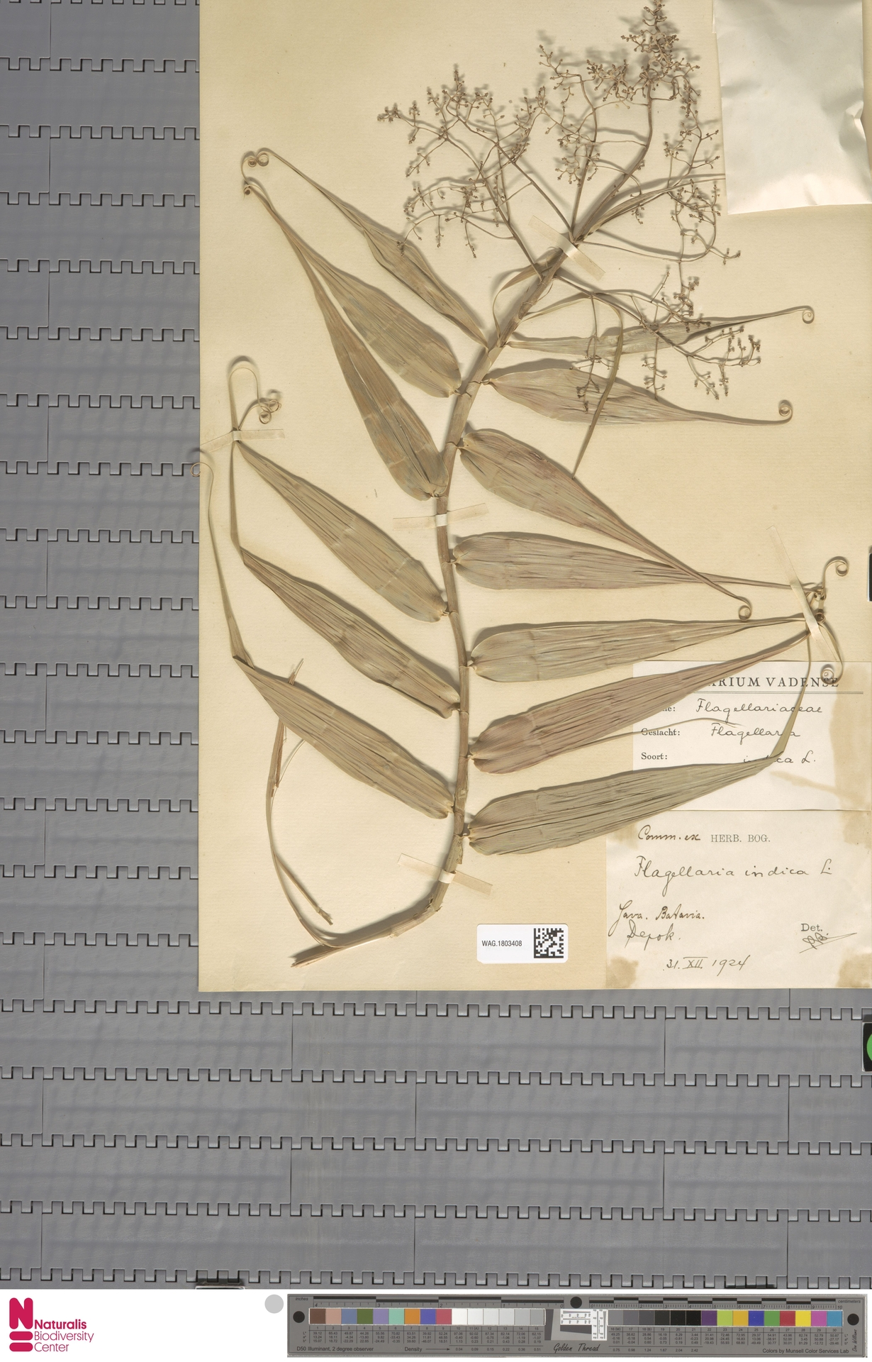 WAG.1803408 | Flagellaria indica L.