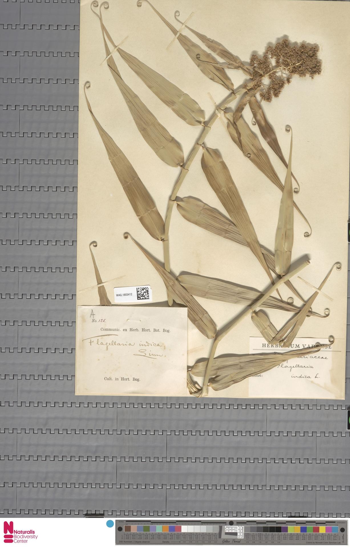 WAG.1803412 | Flagellaria indica L.
