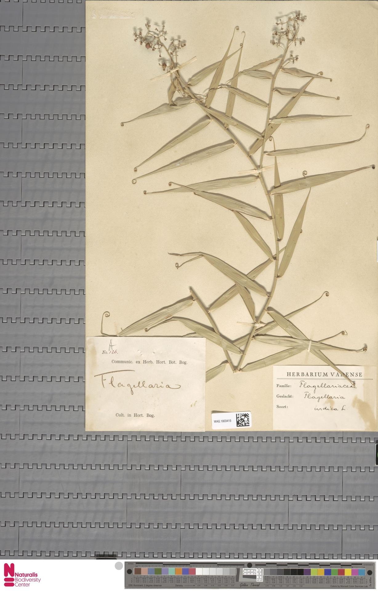 WAG.1803415 | Flagellaria indica L.