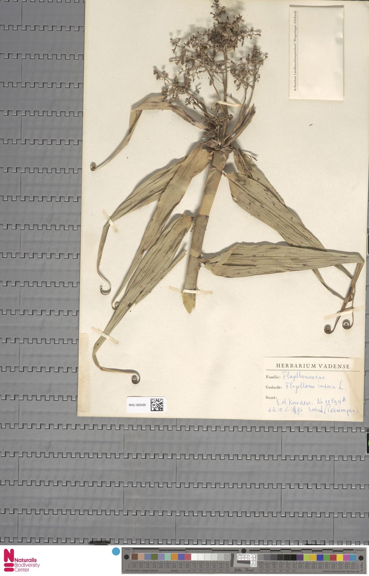 WAG.1803420 | Flagellaria indica L.