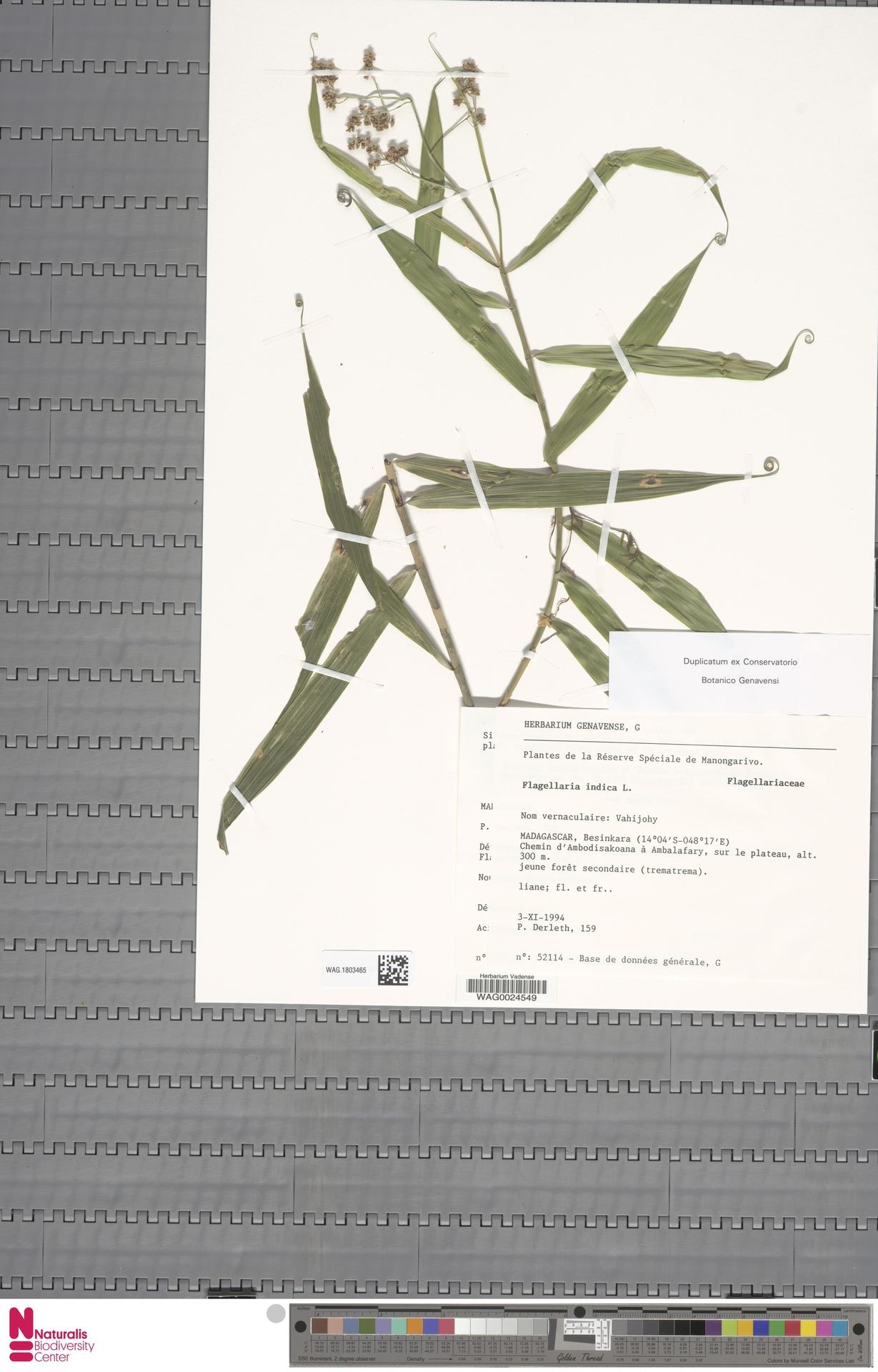 WAG.1803465   Flagellaria indica L.