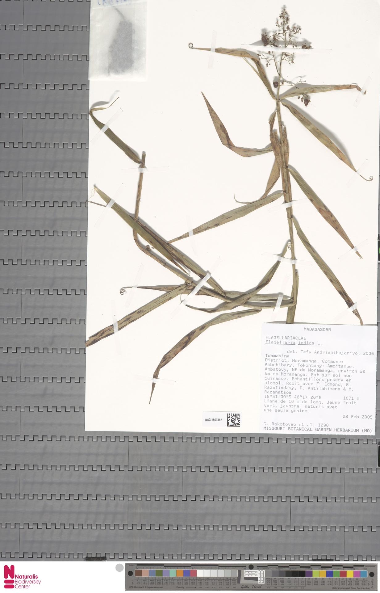 WAG.1803467 | Flagellaria indica L.