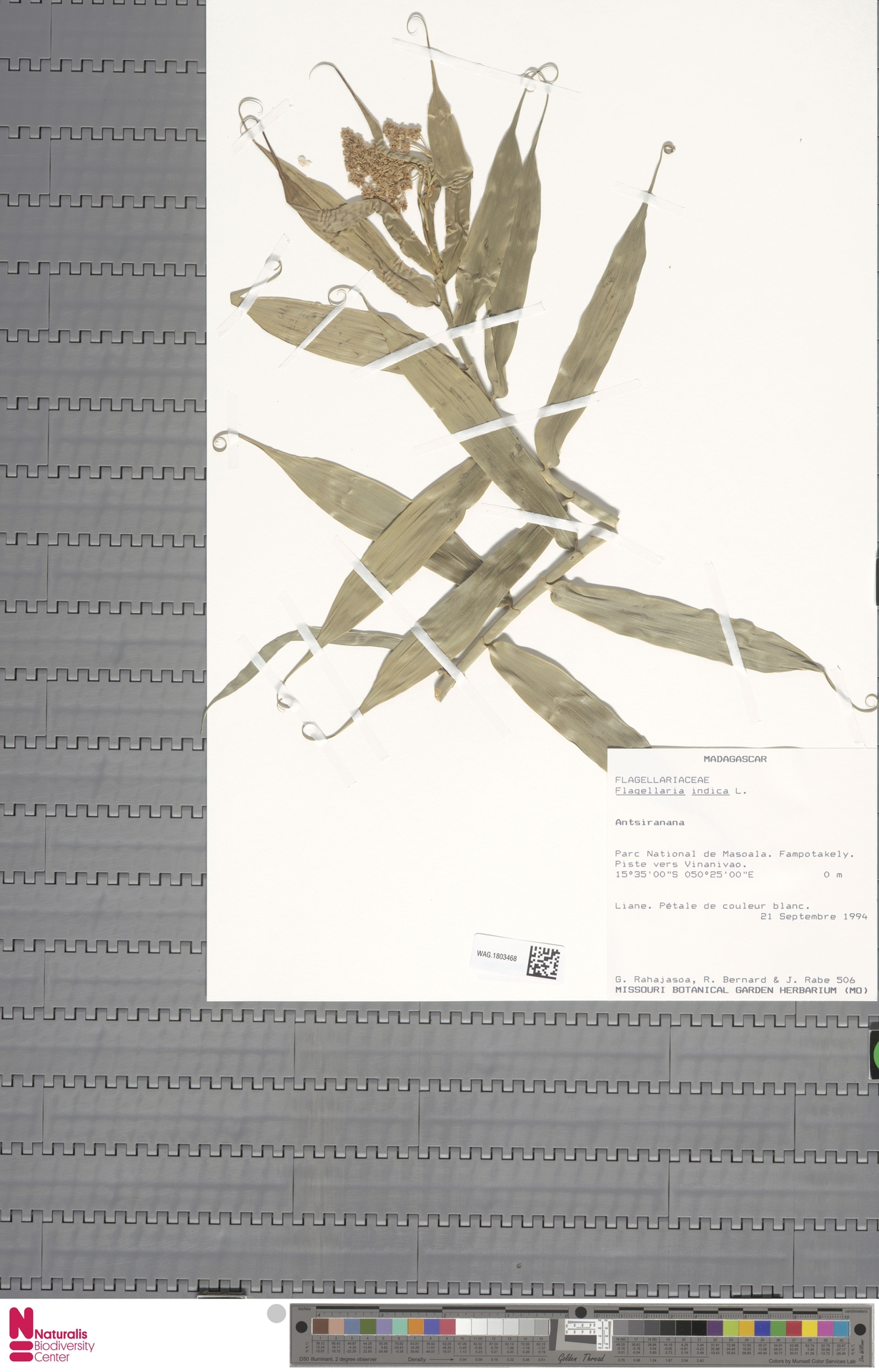WAG.1803468 | Flagellaria indica L.